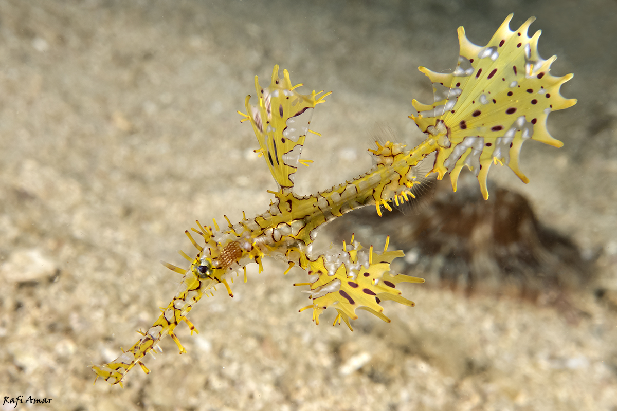 Ghost Pipefish | Ghost Pipefish At Cebu Philippines By Rafi Amar
