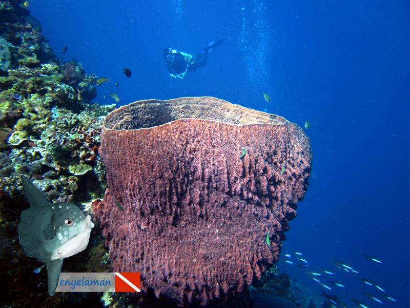 Giant Barrelsponge
