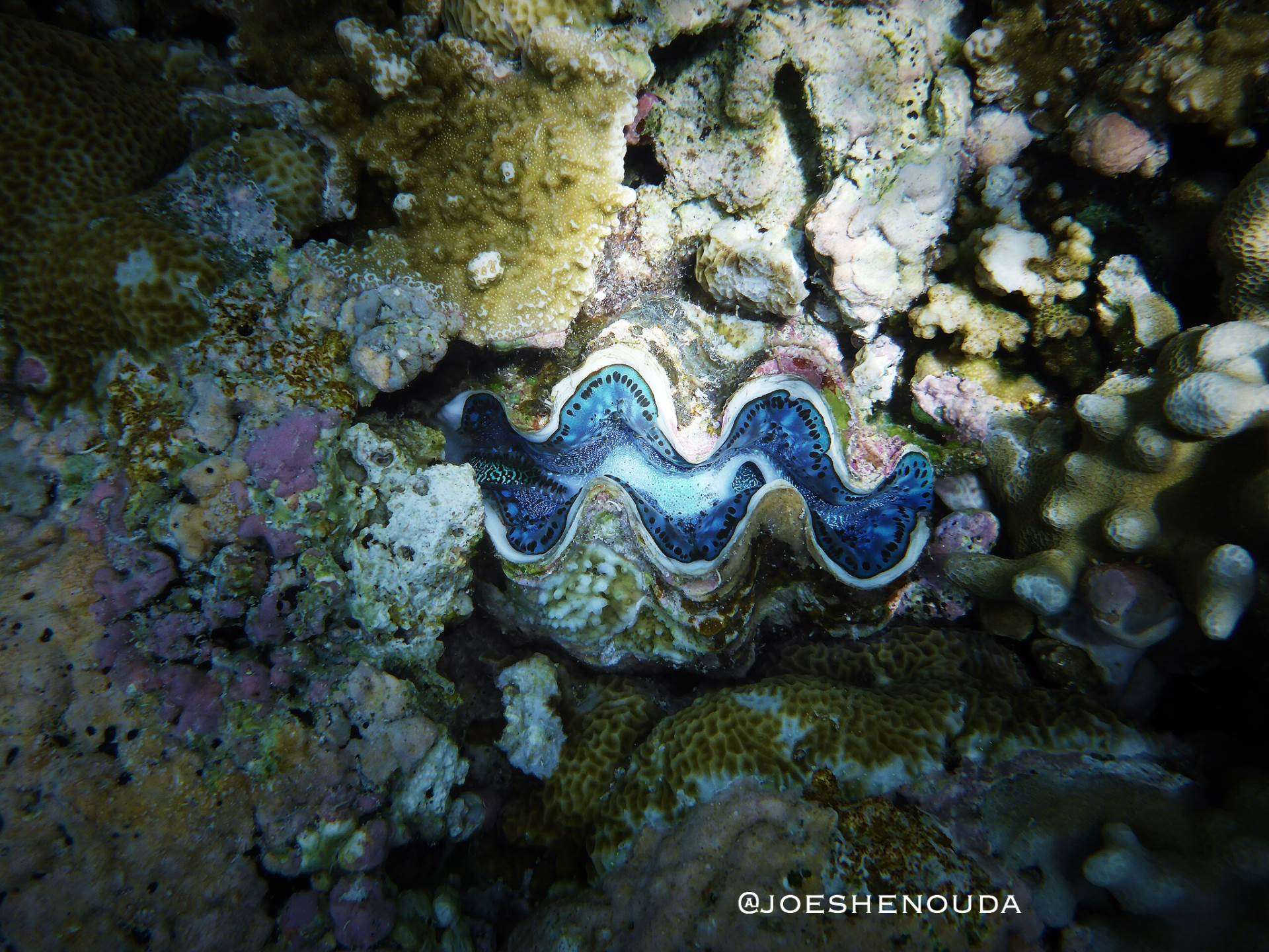 Palau 🇵🇼 is home to 8️⃣ of the 🔟 known species of giant clams 🐚 , making it one of the epicenters of giant clam diversity in the world 🌎 .