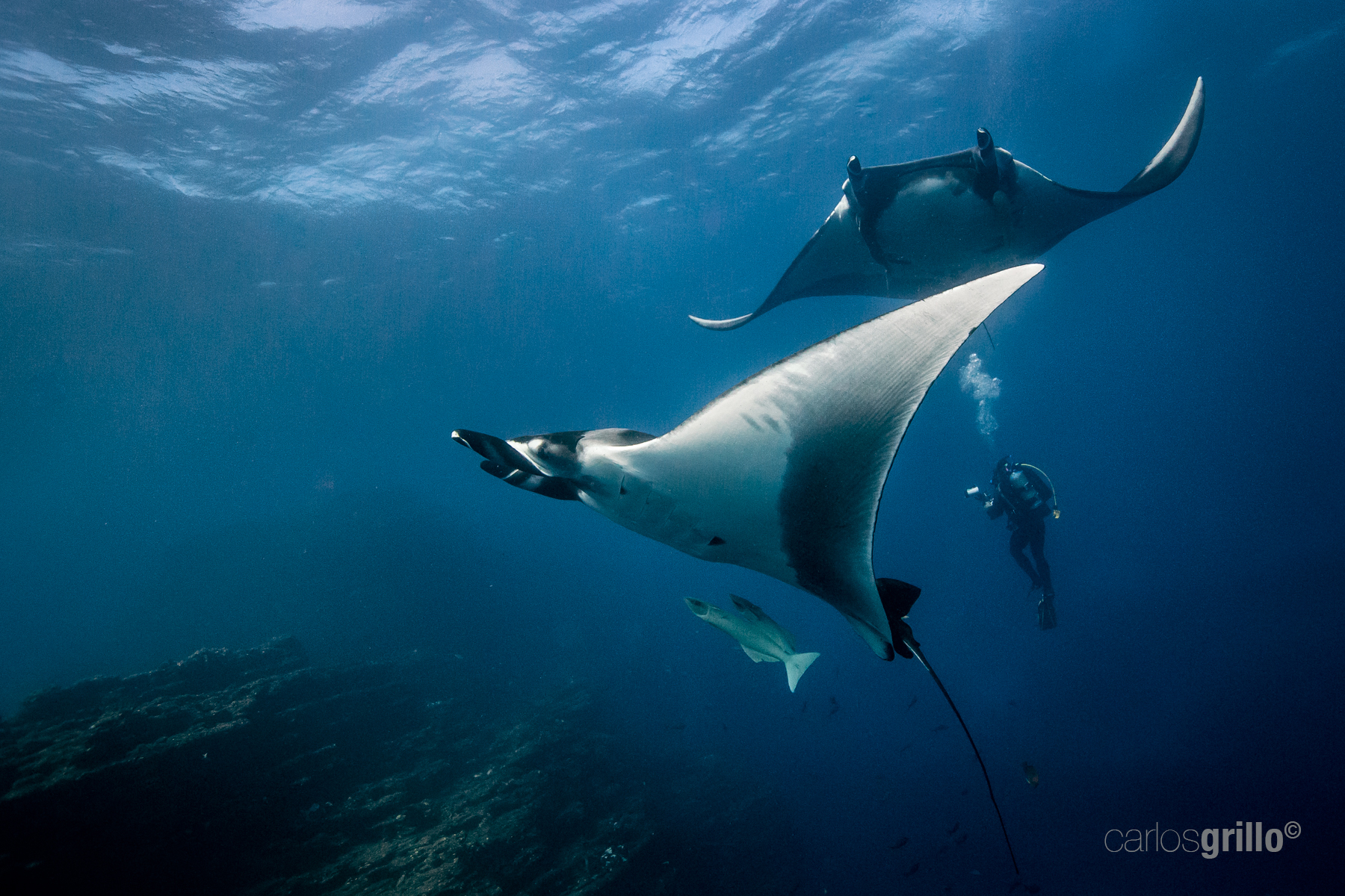 Giant Mantas in San Benedicto Island, Revillagigedo, Mexico.
