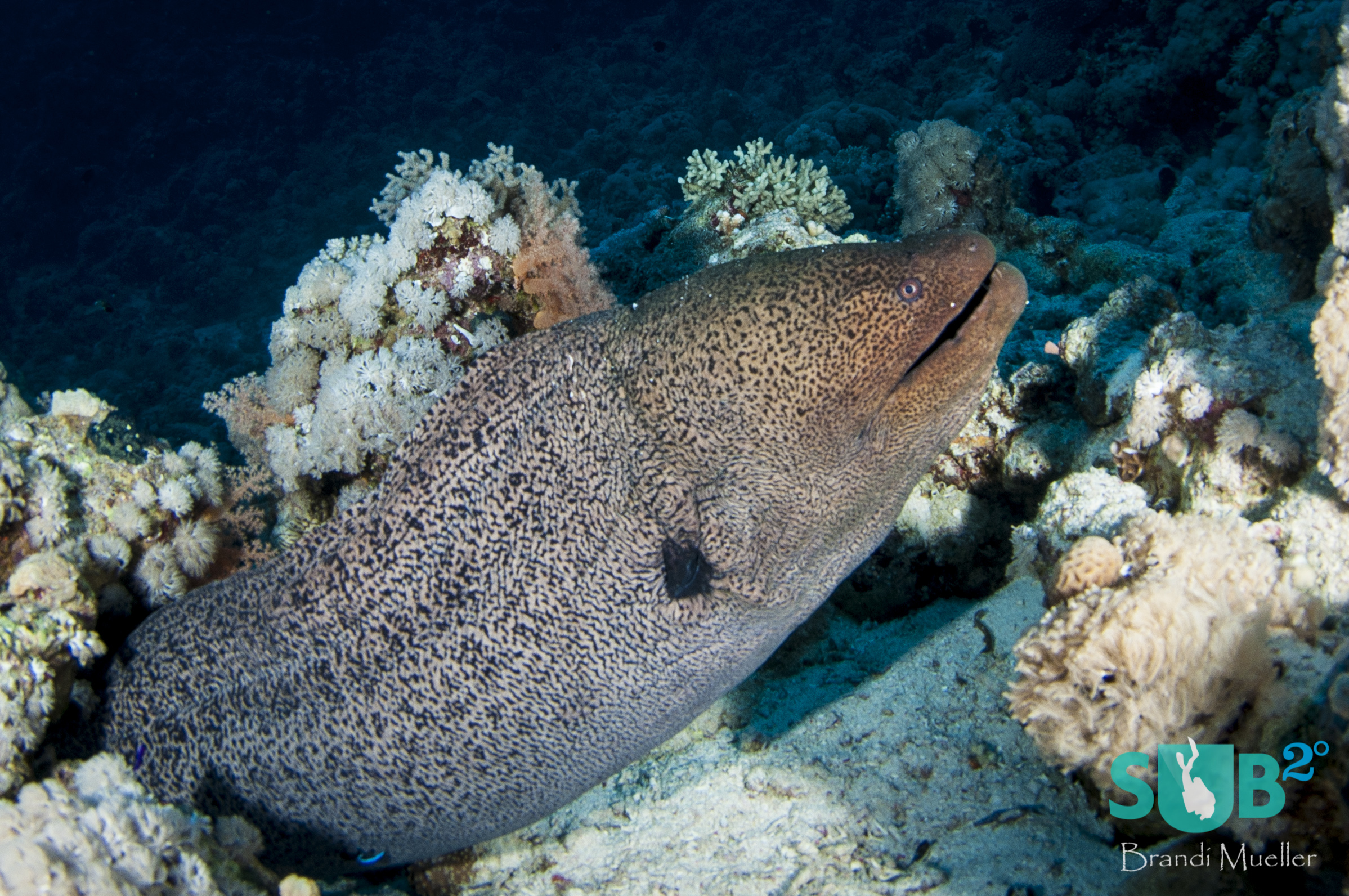 The giant moray eel (Gymnothorax javanicus) is the surly old man of the reef.