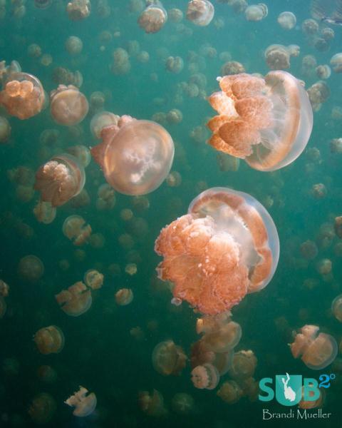 Golden Jellyfish