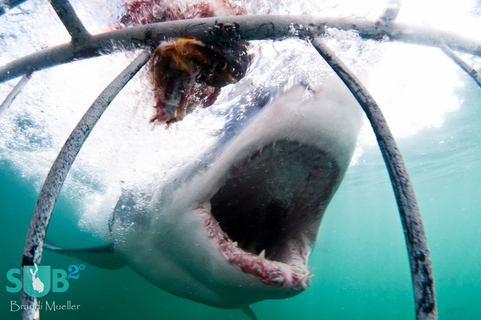 With its mouth wide open, this great white shark smiles for the camera.