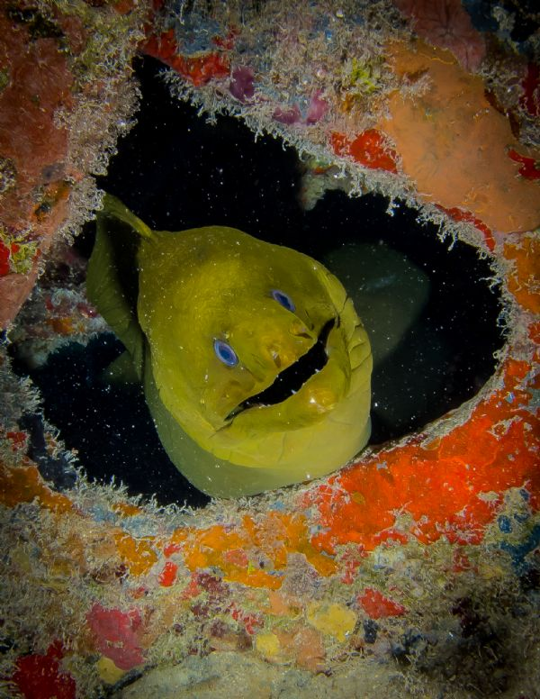 Green Eel hiding in a hole located in the USS Vandenberg Key Photo credit: Daniel