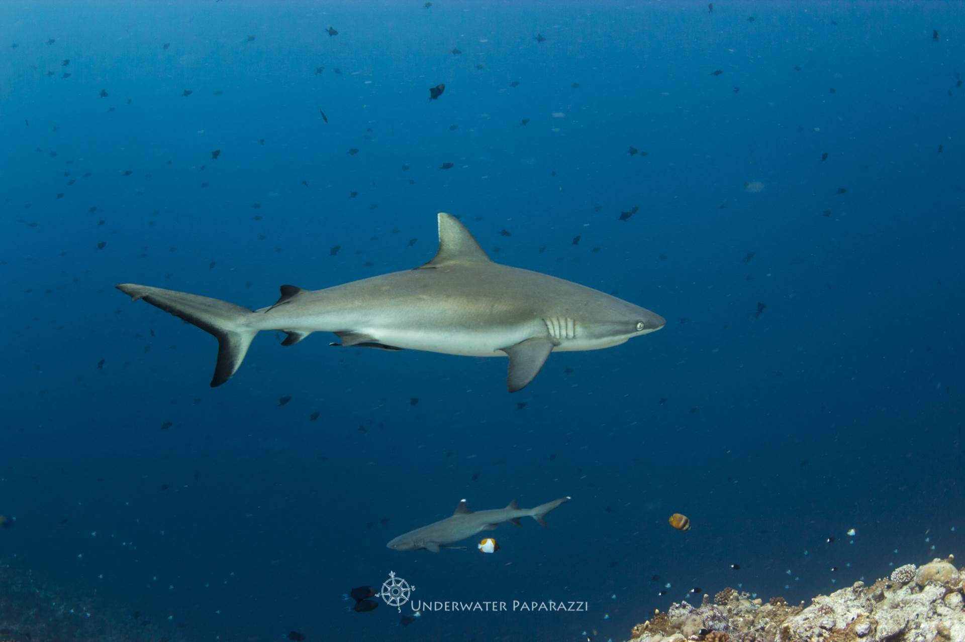 Beautiful grey reef sharks swimming through Blue Corner