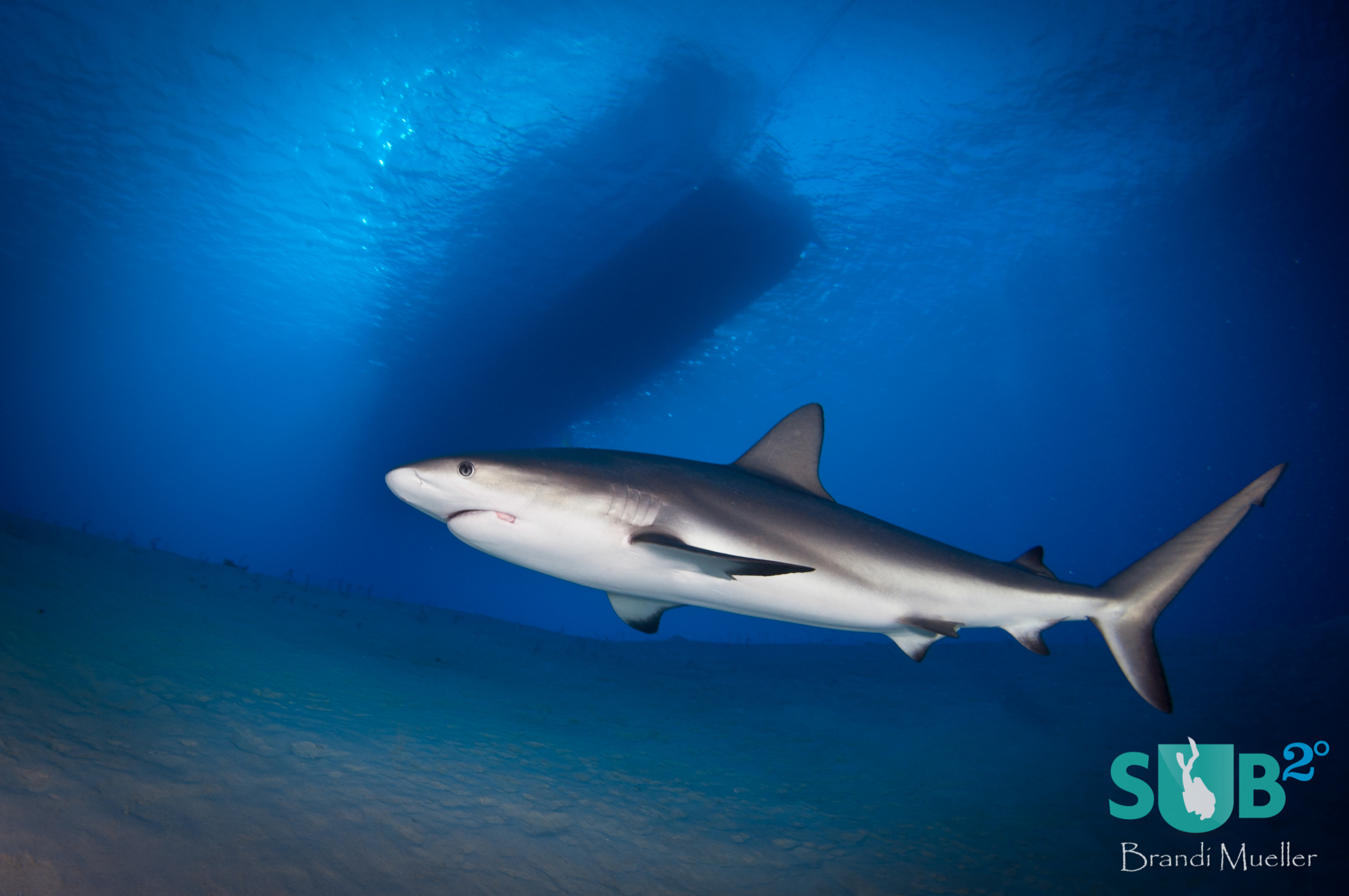 A grey reef shark swims close to divers under the dive boat at Gullies, Turks and Caicos.