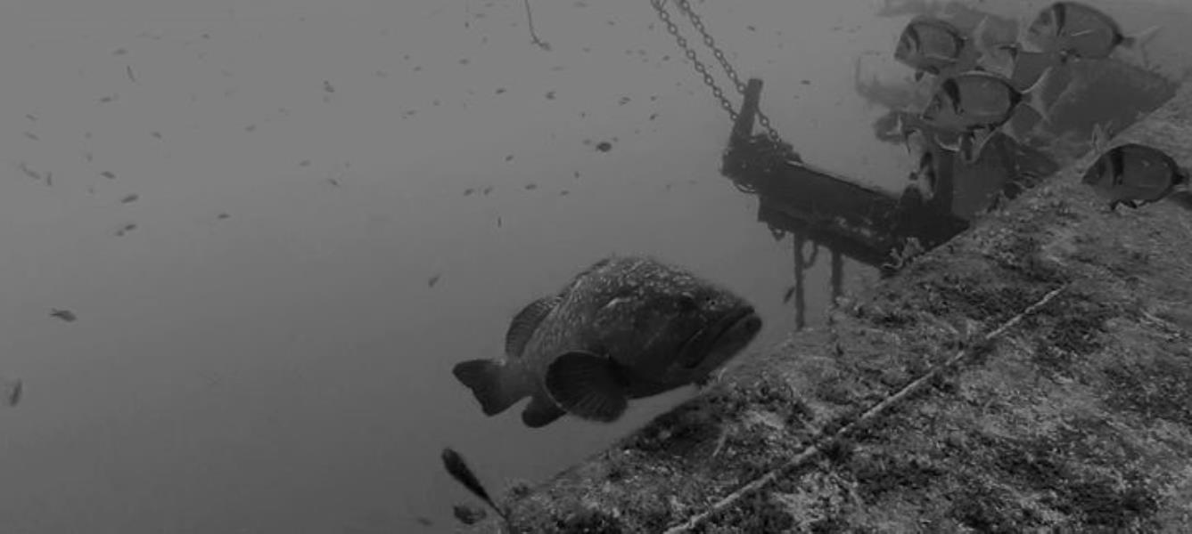 grouper-on-the-ship-wreck