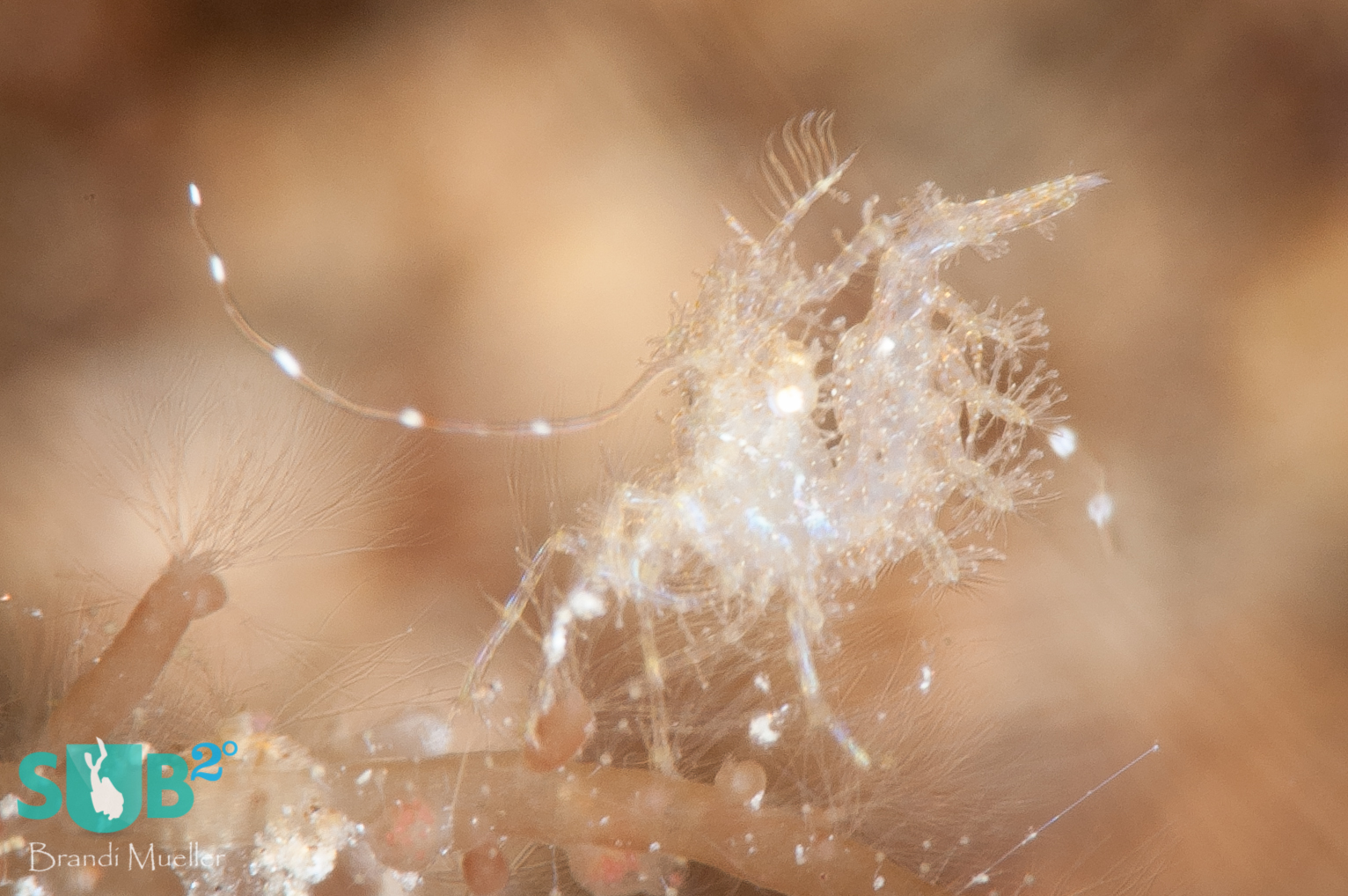 A tiny hairy shrimp, only about 4 millimeters long, is hardly visible to the naked eye.