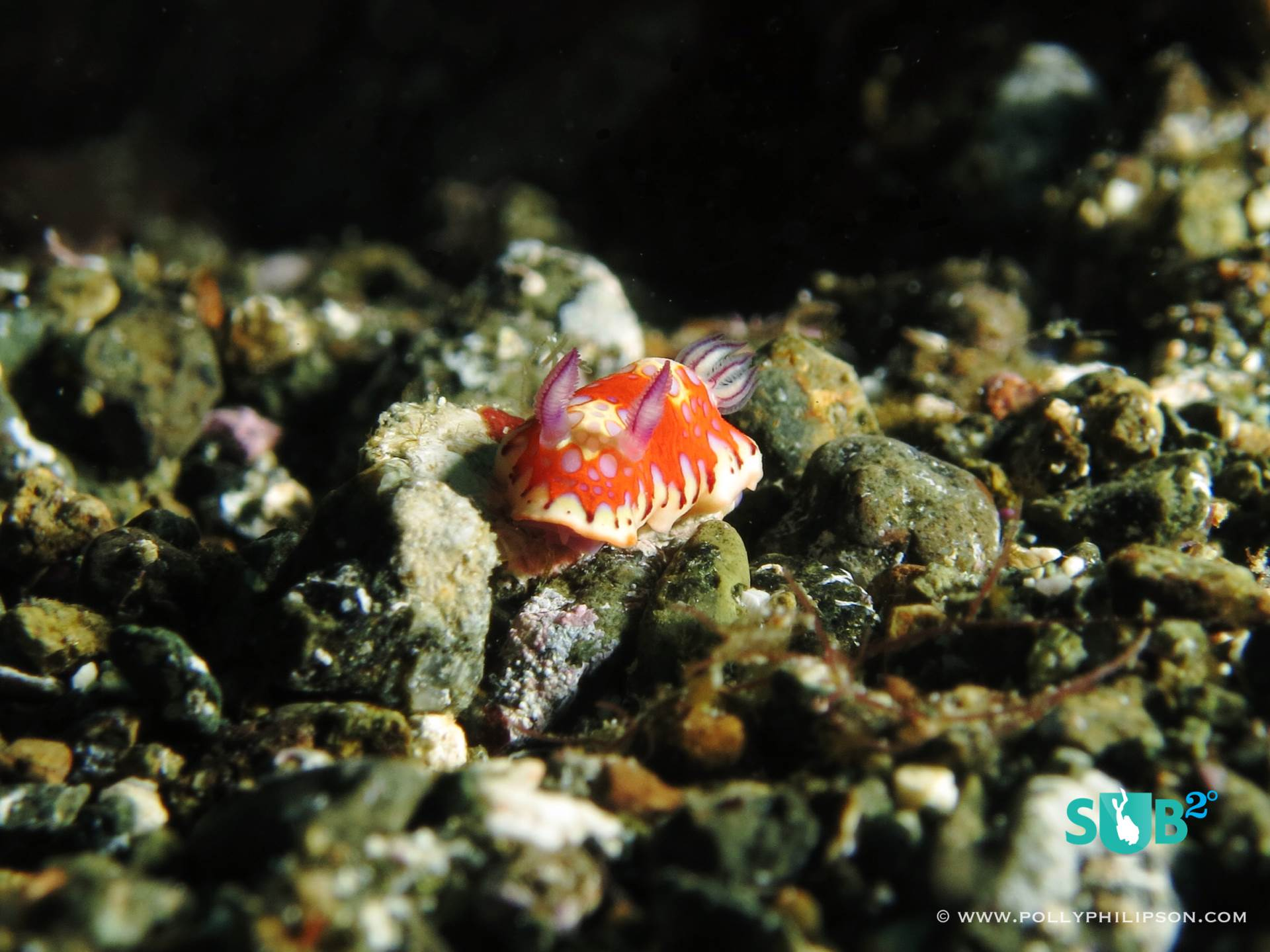 A variety of nudibranchs are waiting to be found in the shallower areas around Speyside. We recorded new depth ratings for many species, like this harlequin blue sea goddess.