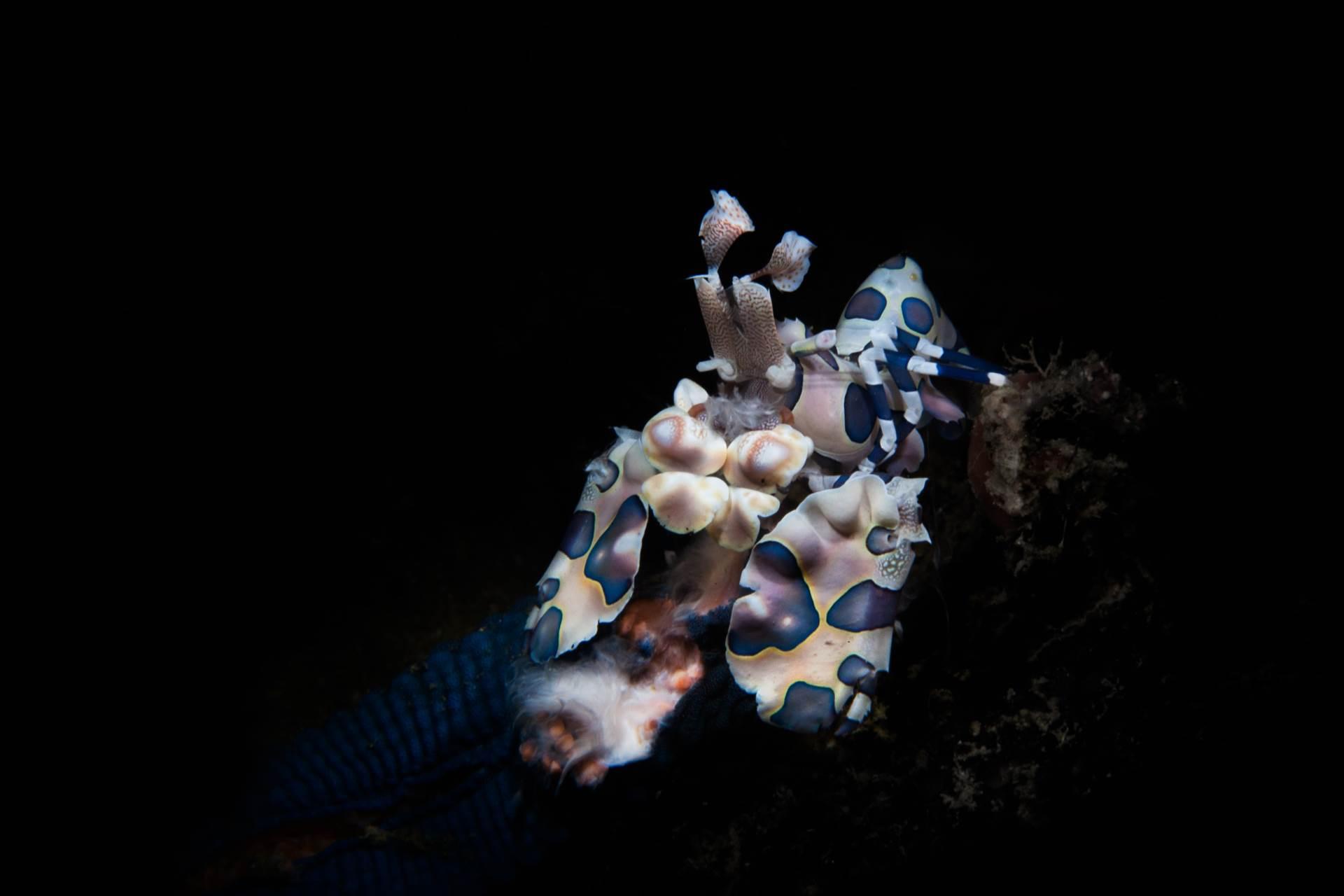Harlequin Shrimp in Puerto Galera Bay.