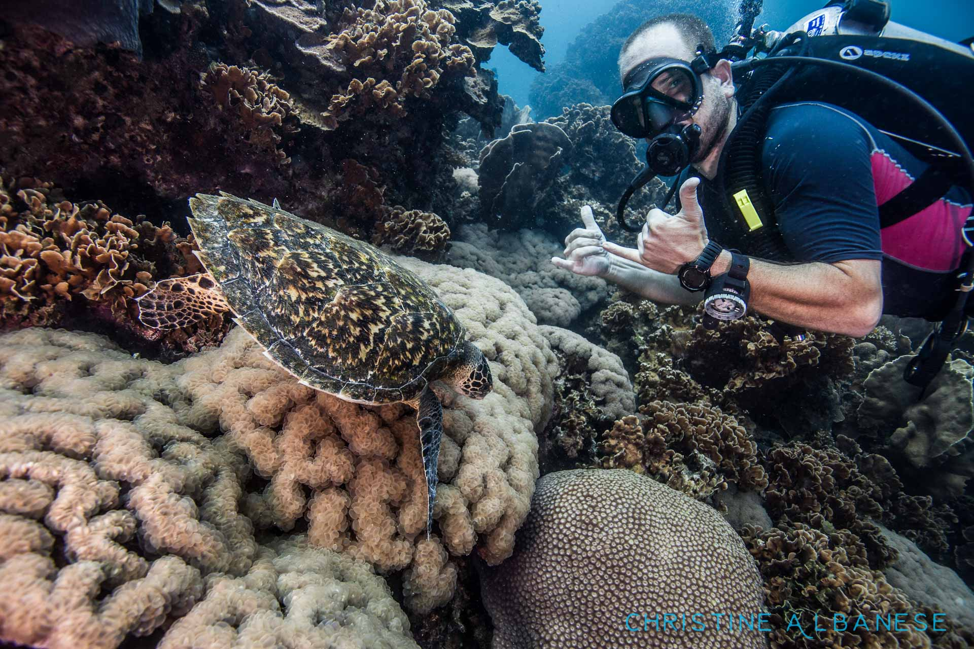 Who doesn't love turtles? This little hawksbill was munching on some bubble coral while my boyfriend @antaltoth tried to make friends with it 😉  #wideangle #ikelite #ds160 #canon6d #canon1740 #uwphotography #underwater #underwaterdiving #underwaterphotography #japanesegardens #kohtao #thailand #scuba #diving #hawksbill #turtle #hawksbillturtle #adorable #inlove #ocean #adventure #padi