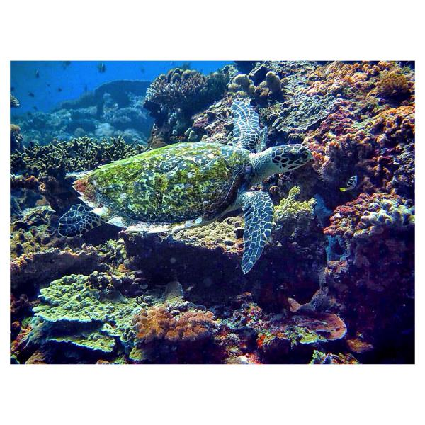 """Hawksbill Sea Turtle """"Penyu Sisik"""""""
