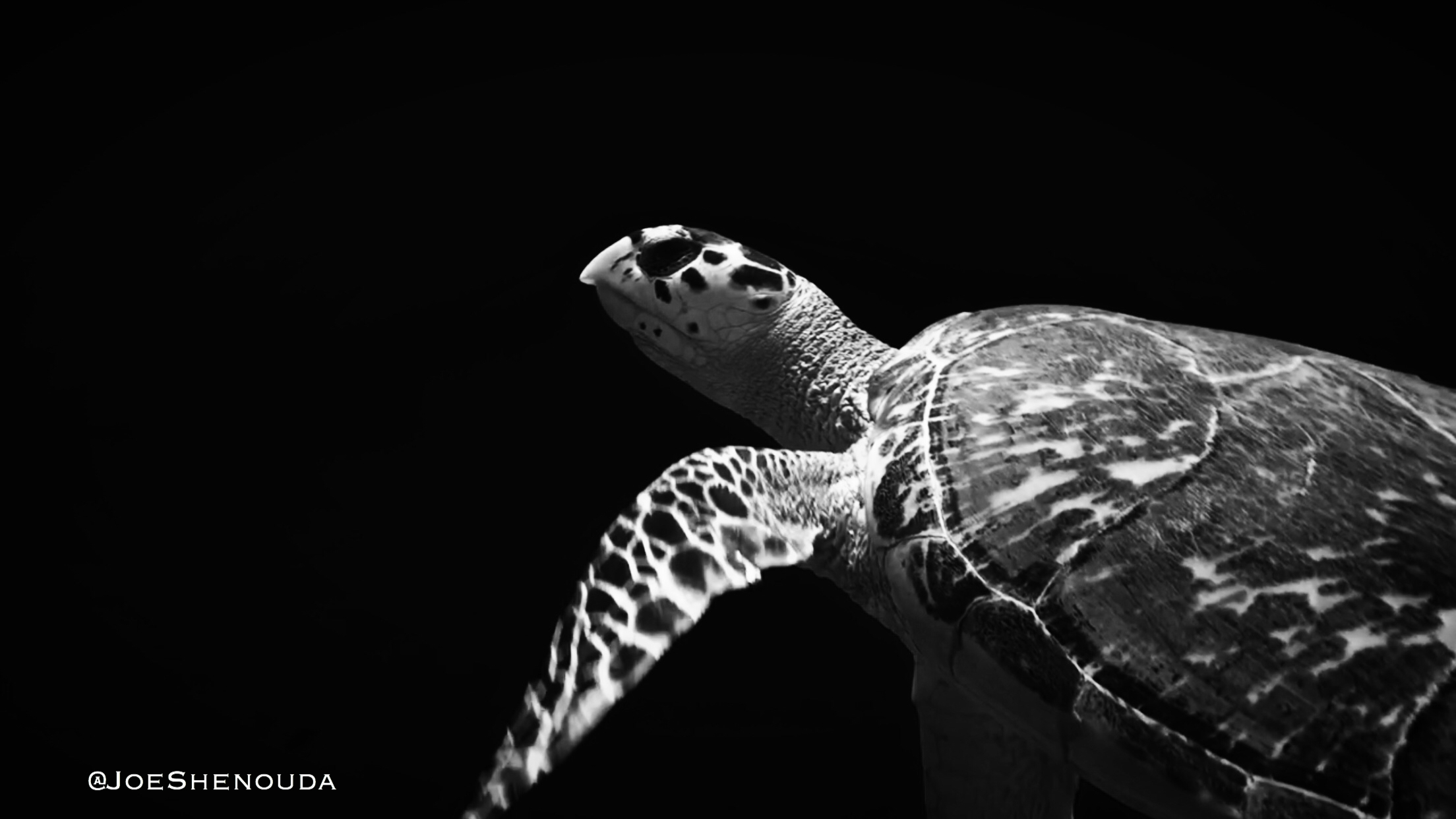 Did you know that the Hawksbill Sea Turtle is the most endangered type of turtle?
