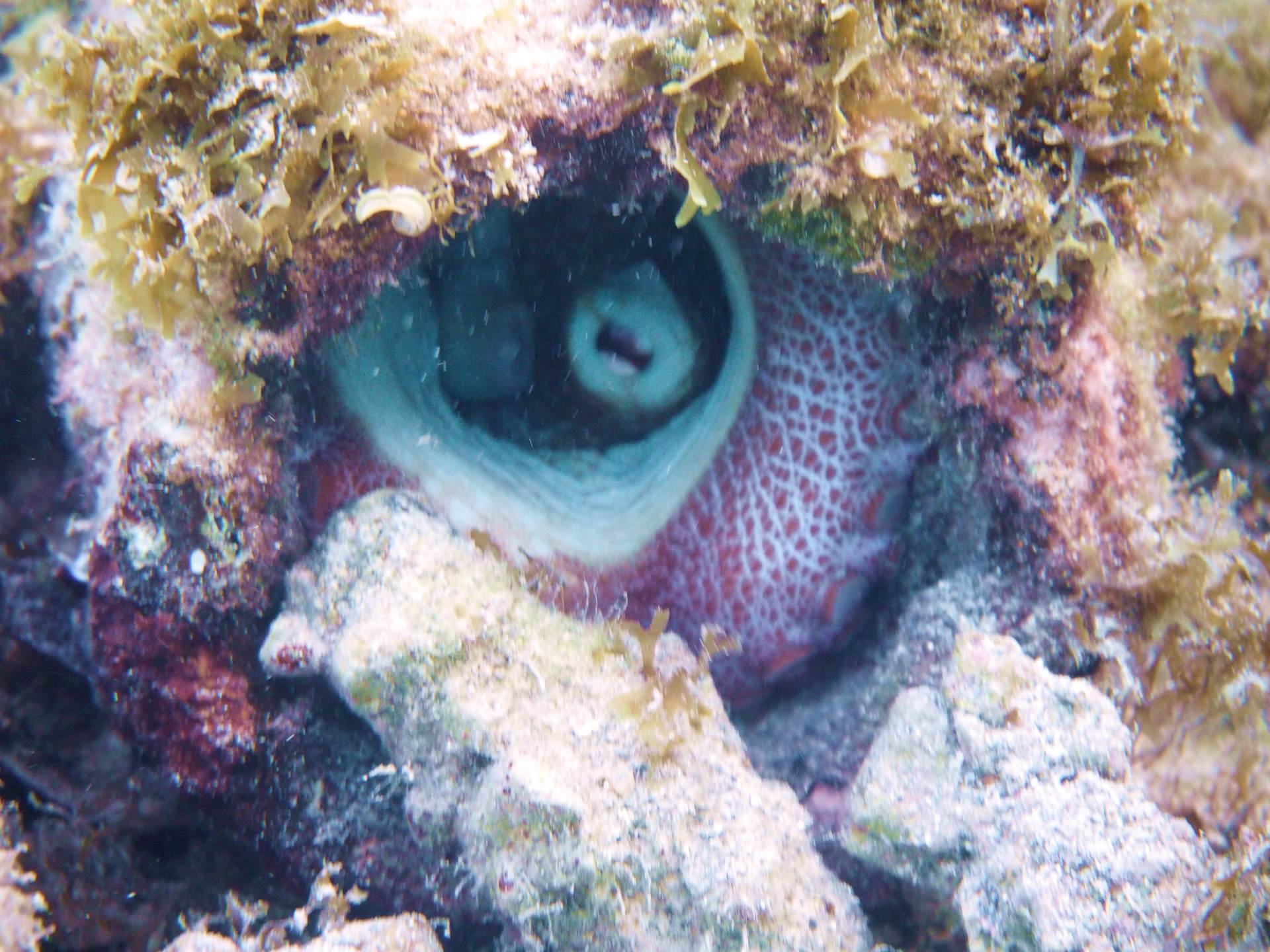 In a Pipe at the end of LPDC dock, this octopus hung around for about 3 weeks. spitting sand occasionally. We left well alone.