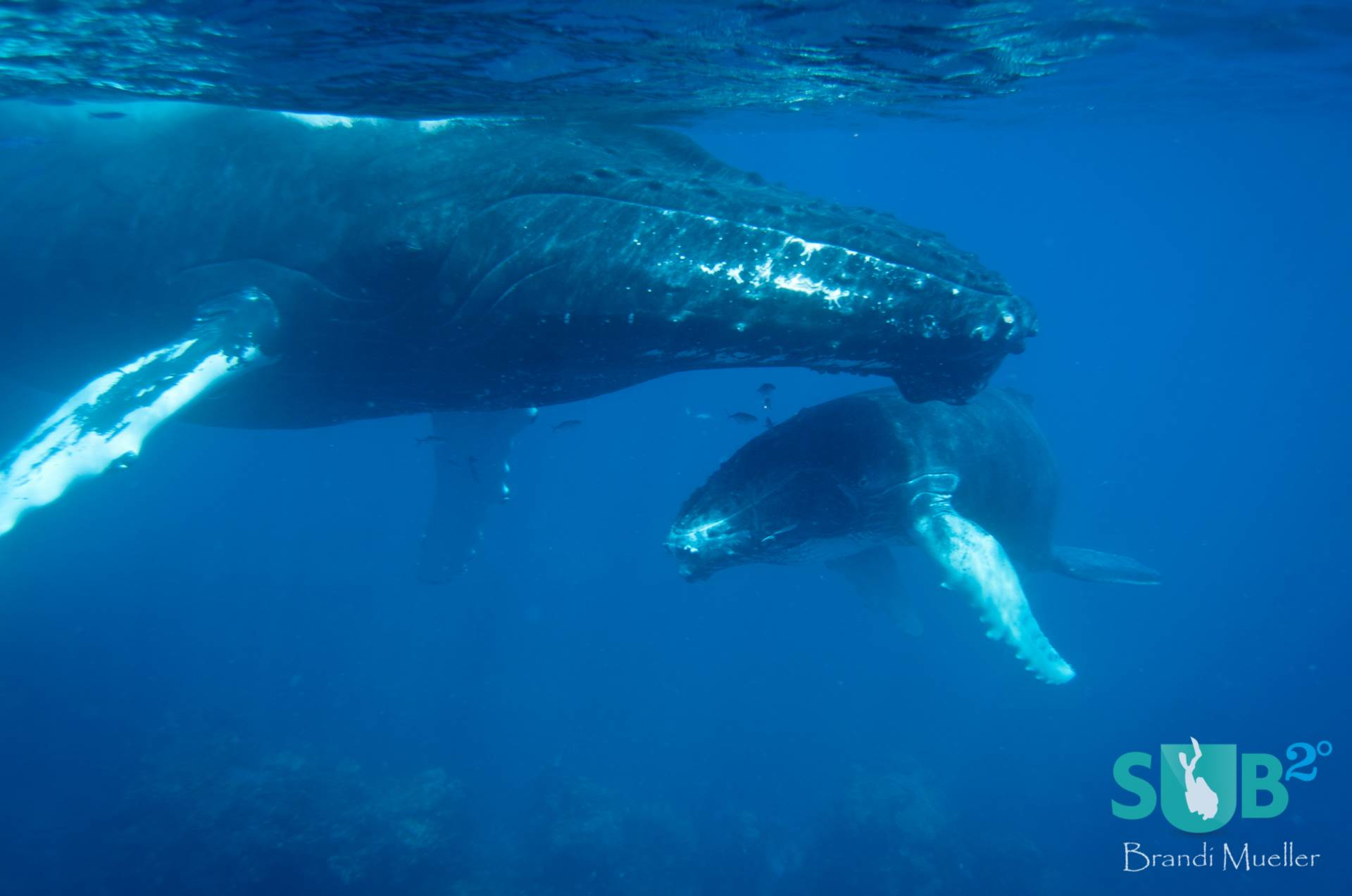 Humpback whales come to the Silver Bank to mate and give birth to their calves.  Here a mother guards her baby.