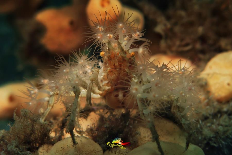 Hydroids Decorator Crab
