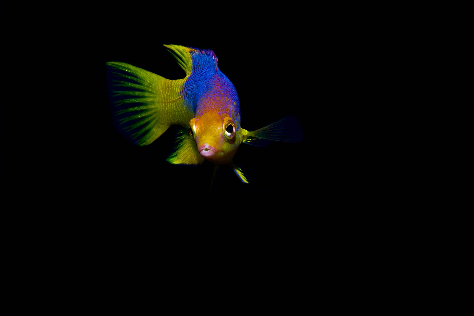 Juvenile Spanish Hogfish in Pompano Beach FL