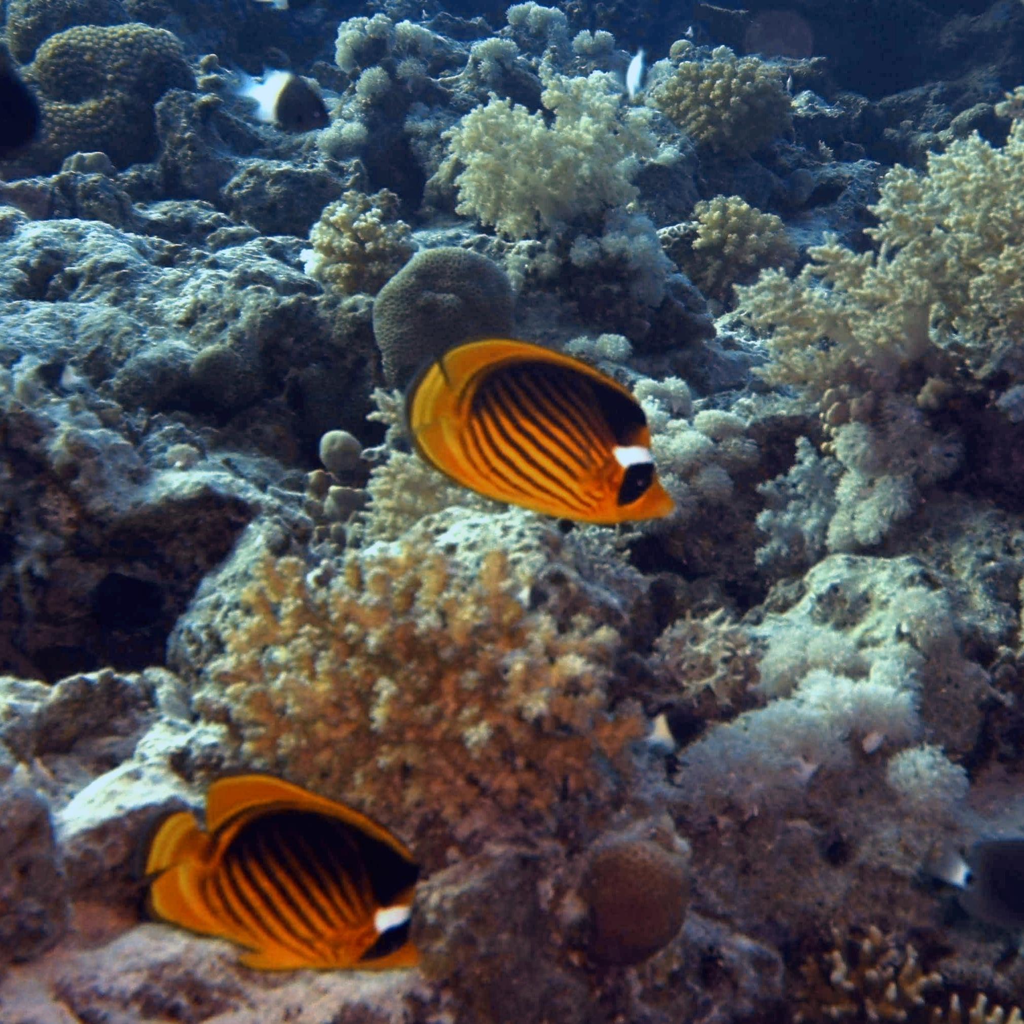 Butterflyfish......love them