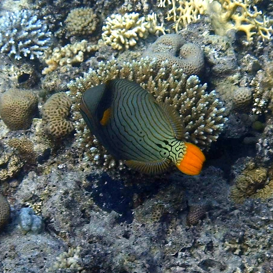 Photo of a beautiful orange striped Trigger fish