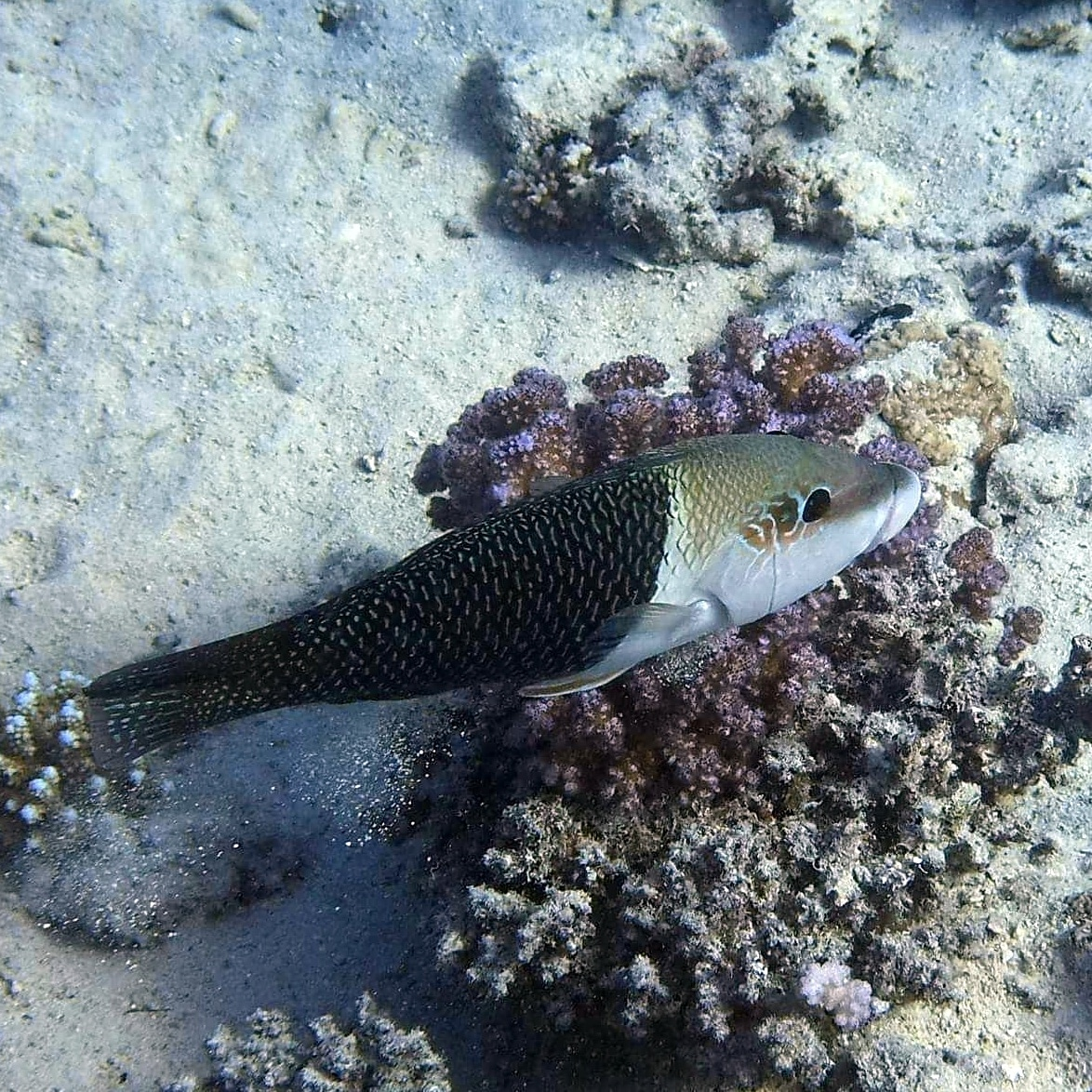 The Blackeye Thicklip wrasse. A little beauty