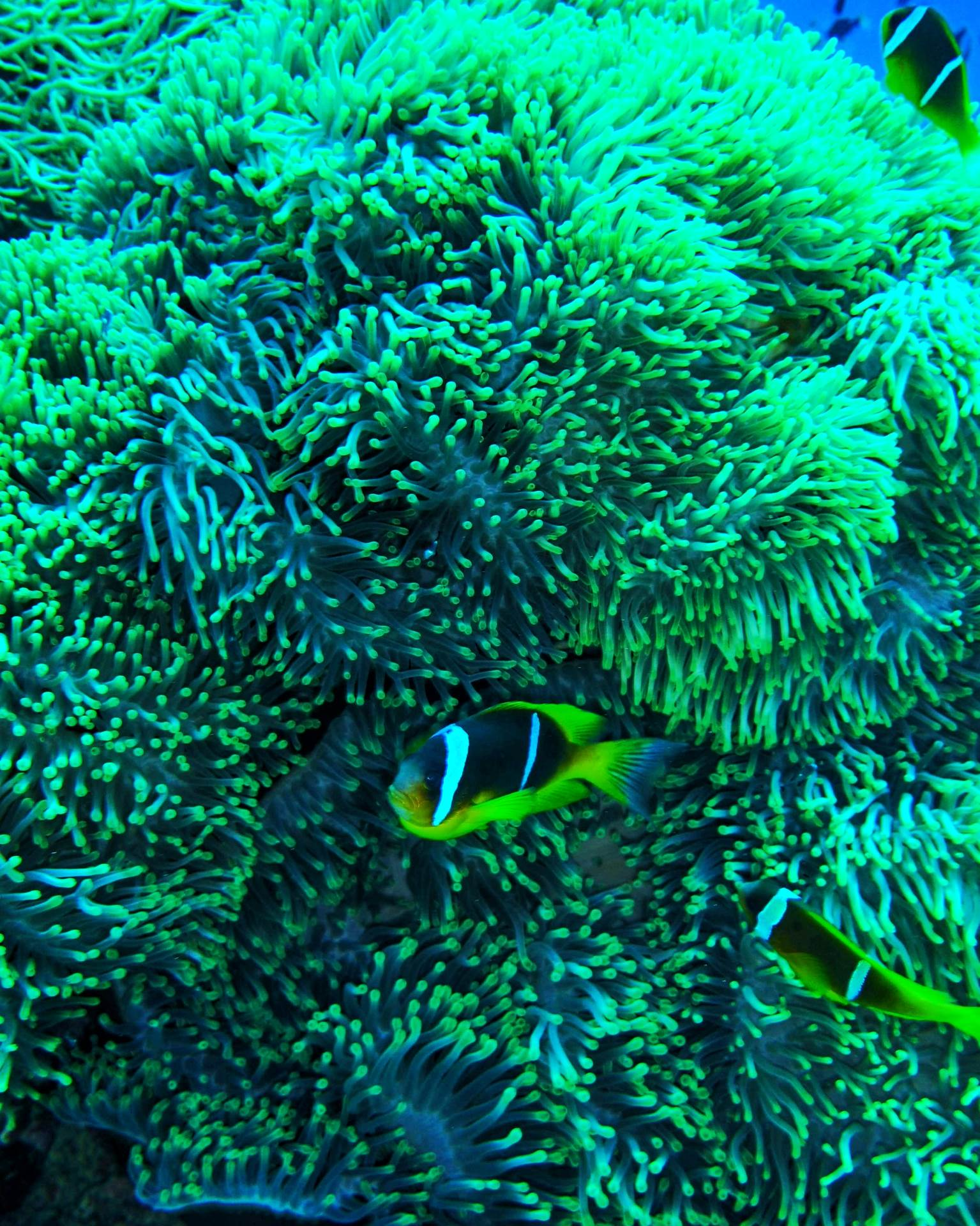 Evening dive. Clownfish and corals