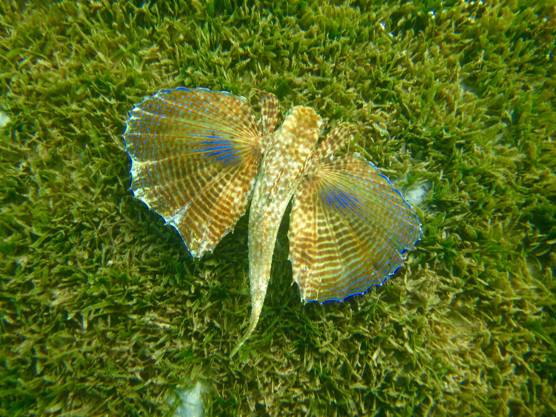 Please feature this photo on your instagram (photo credits go to @photographylife.4u)  a flying gurnard in nevis