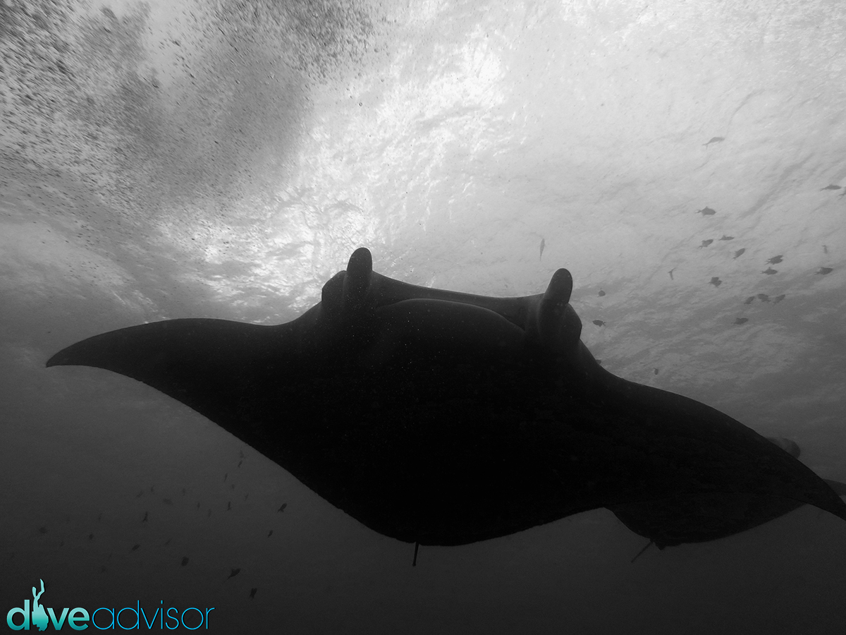 I really liked diving at Lankan Manta point. We saw mantas there twice in one trip with a 100% accuracy. We were actually lucky to see them away from the cleaning station itself, thus avoiding the crowd of divers.