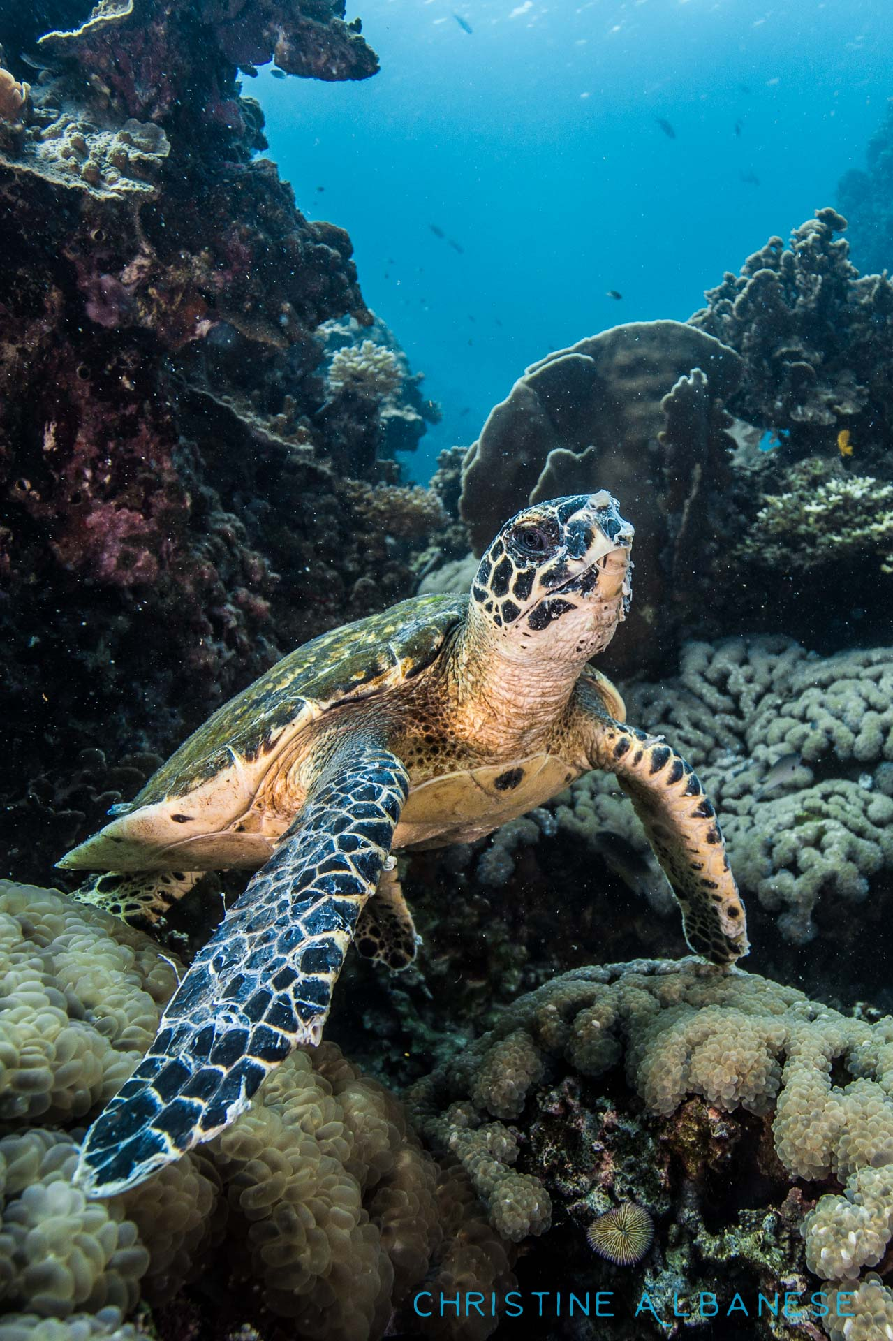 "A small young hawksbill turtle was spotted at Japanese Gardens - he frequents this dive site and is usually found munching away on bubble coral. He finally took a ""breather"" and posed for me :)  #underwater #underwaterphotography #uwphotography #EarthCapture #padi #wideangle #canon6d #canon1740 #ikelite #ds160 #scuba #scubadiving #adventure #kohtao #thailand #divinglife #lovemyjob #japanesegarden #turtle #hawksbill #cutie #poser"