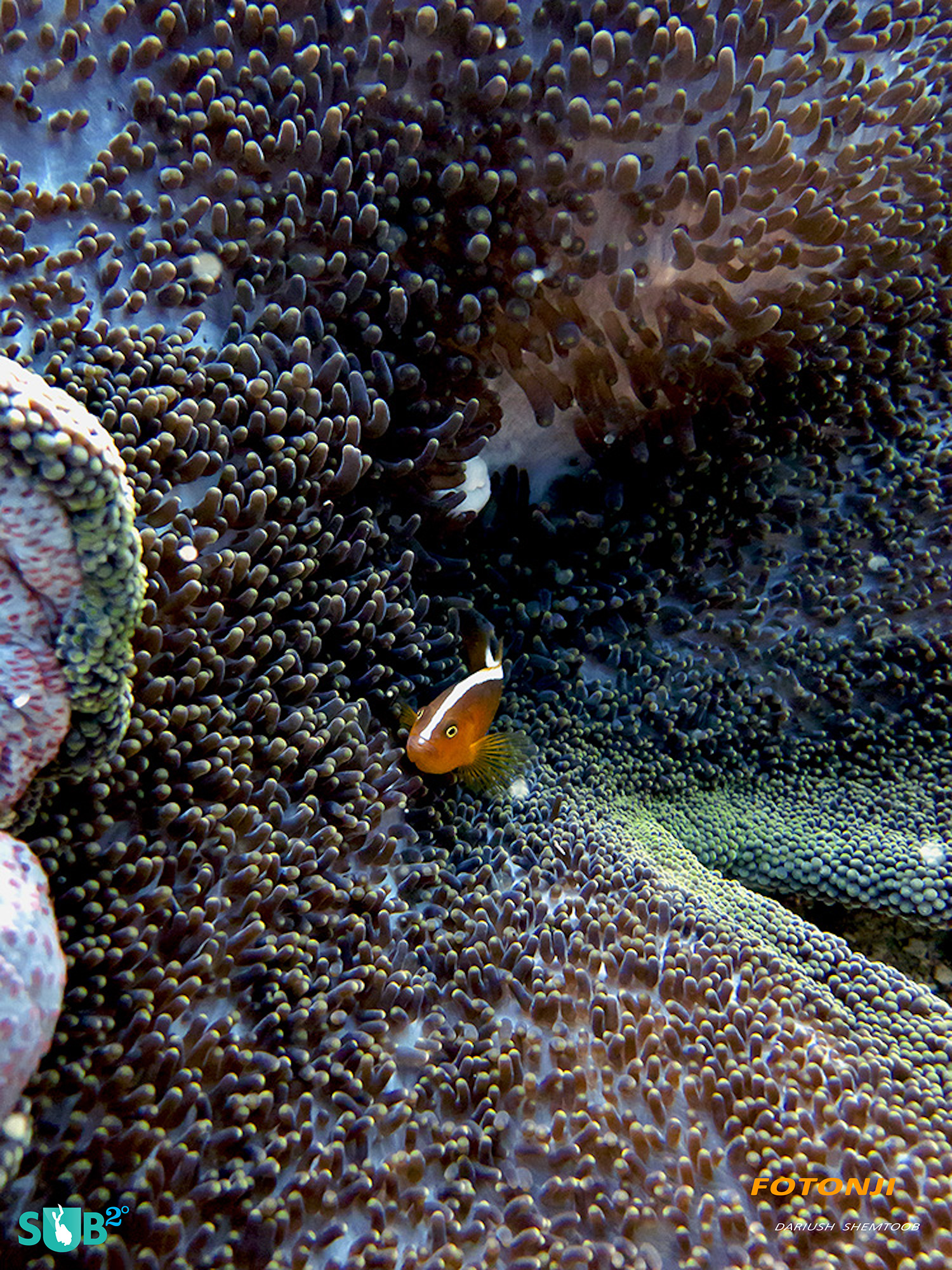 Clown fish enjoying the safety of anemone