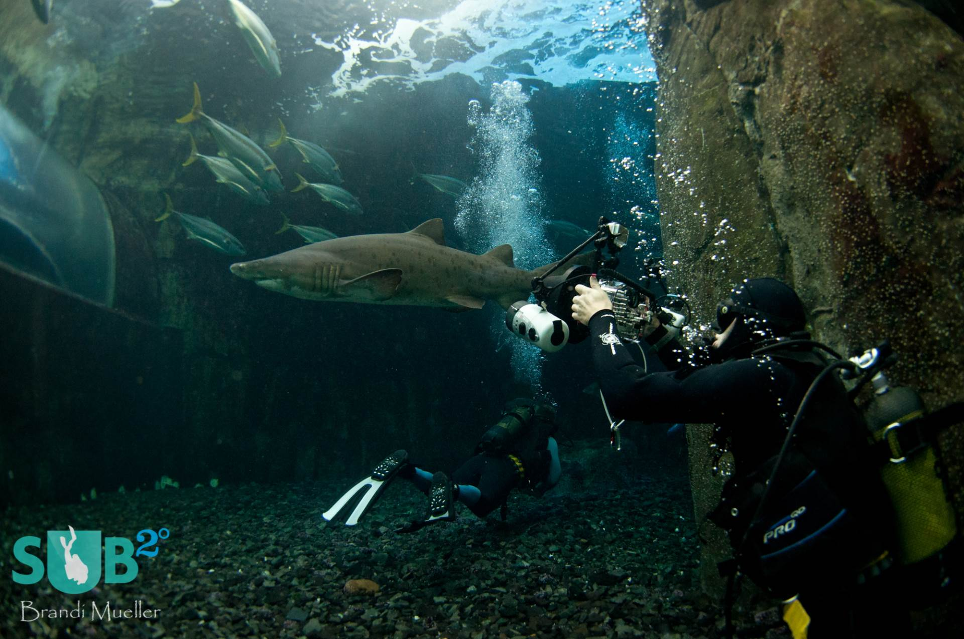 A photographer takes a shot of the large ragged-tooth shark in the Predator Exhibit.