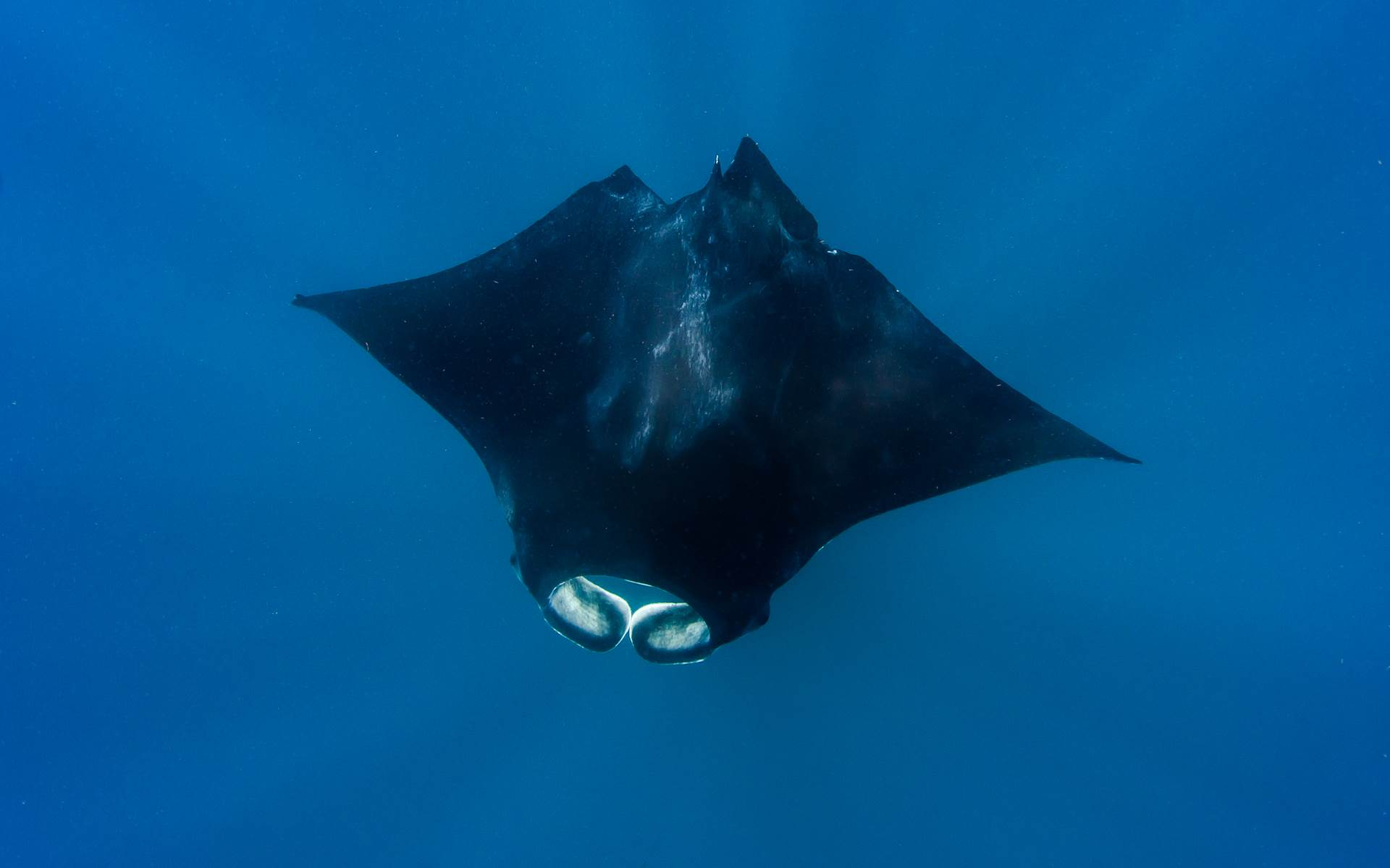A large manta ray passes me below as I snorkel with whale sharks on the surface in Isla Mujeres