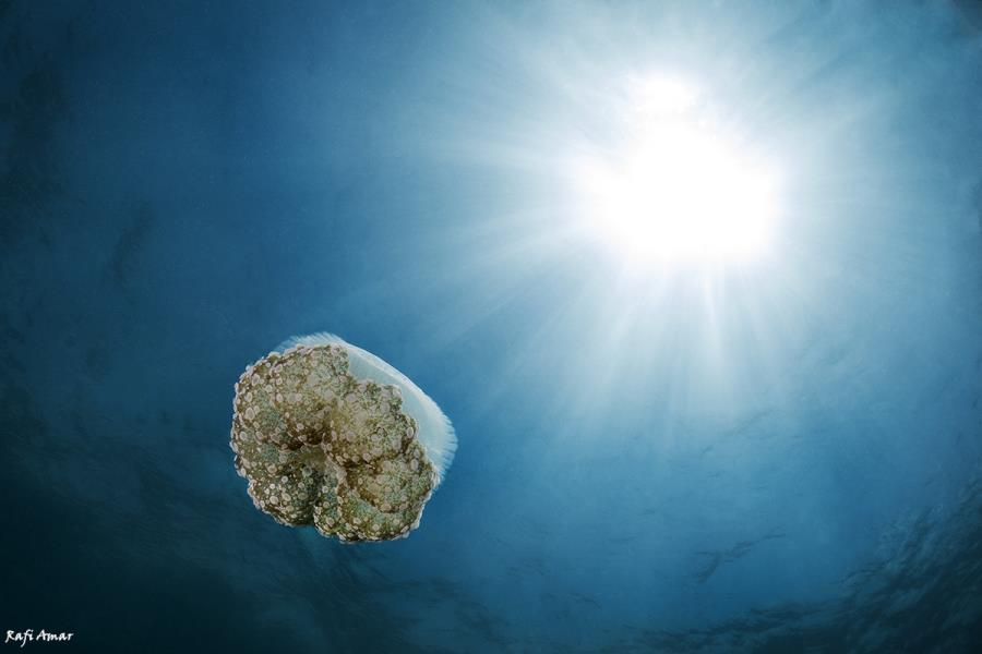 jellyfish cassiopeia.