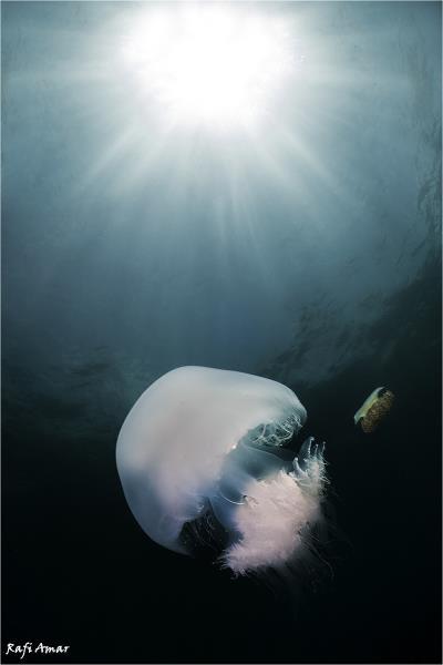 Jellyfish.. Rhopilema nomadica