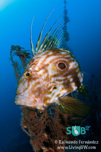 John Dory around a lost gill net