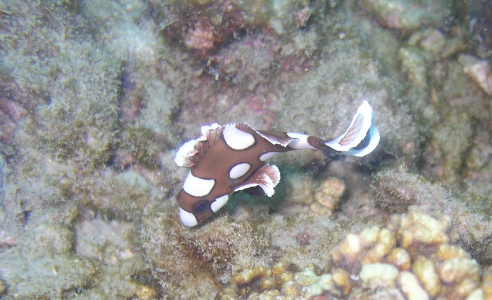 Juvenile Harlequin Sweetlips at Ao Sane 02
