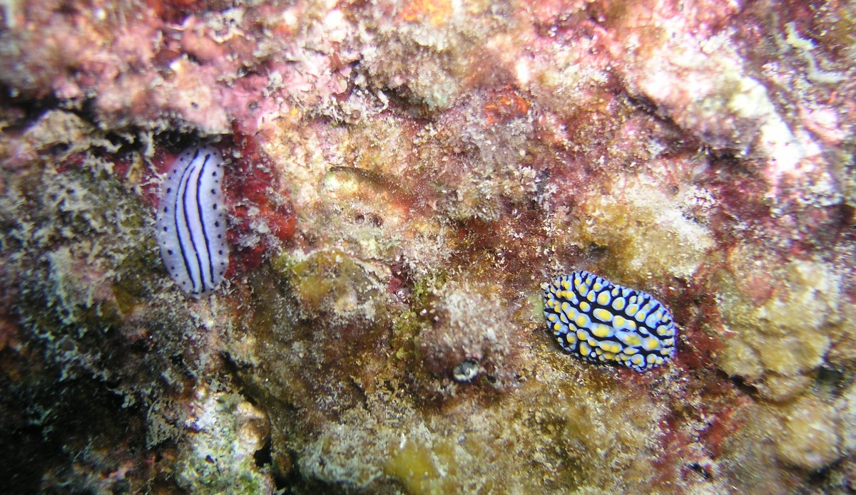 These two juvenile nudibranches were about 1.5 cm in length.