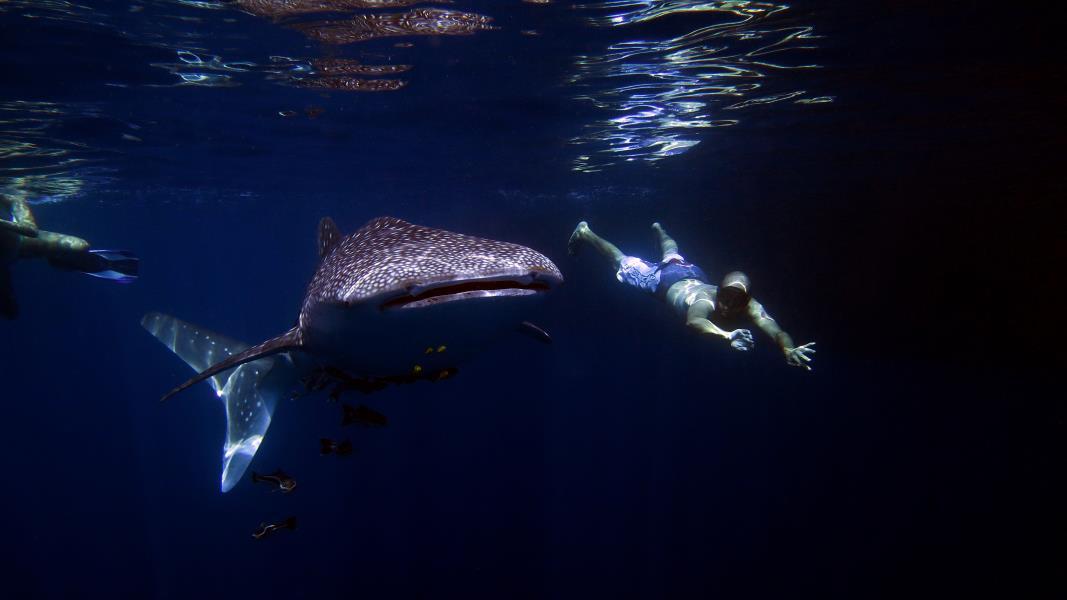 Juvenile whale shark