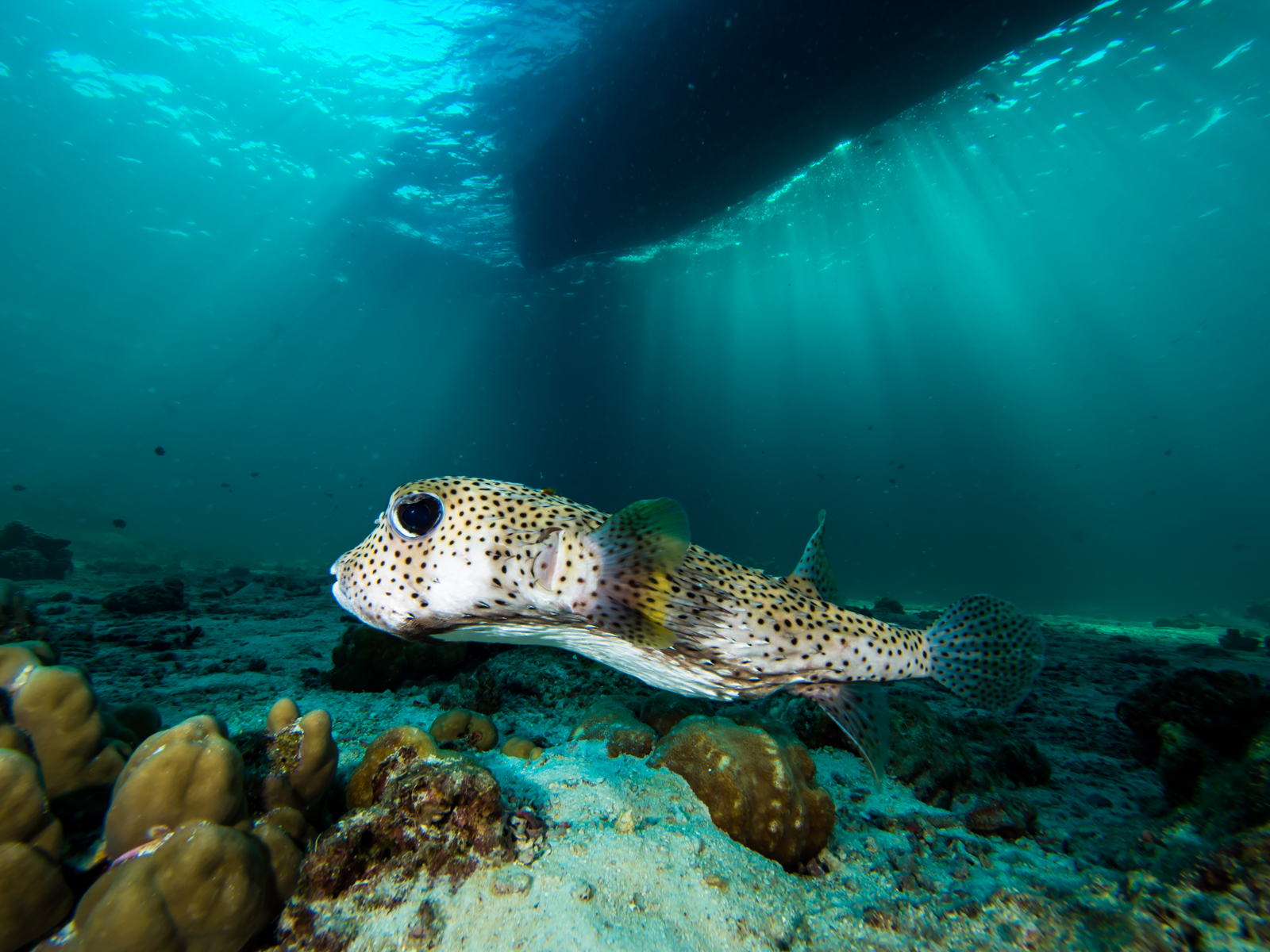 Purcupine pufferfish hangin out underneith thediveboat