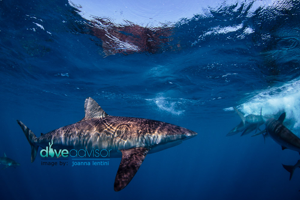 A great site for adrenaline junkies. In Jardines de la Reina you'll have the opportunity to get up close and personal with dozens of  Silky Sharks.
