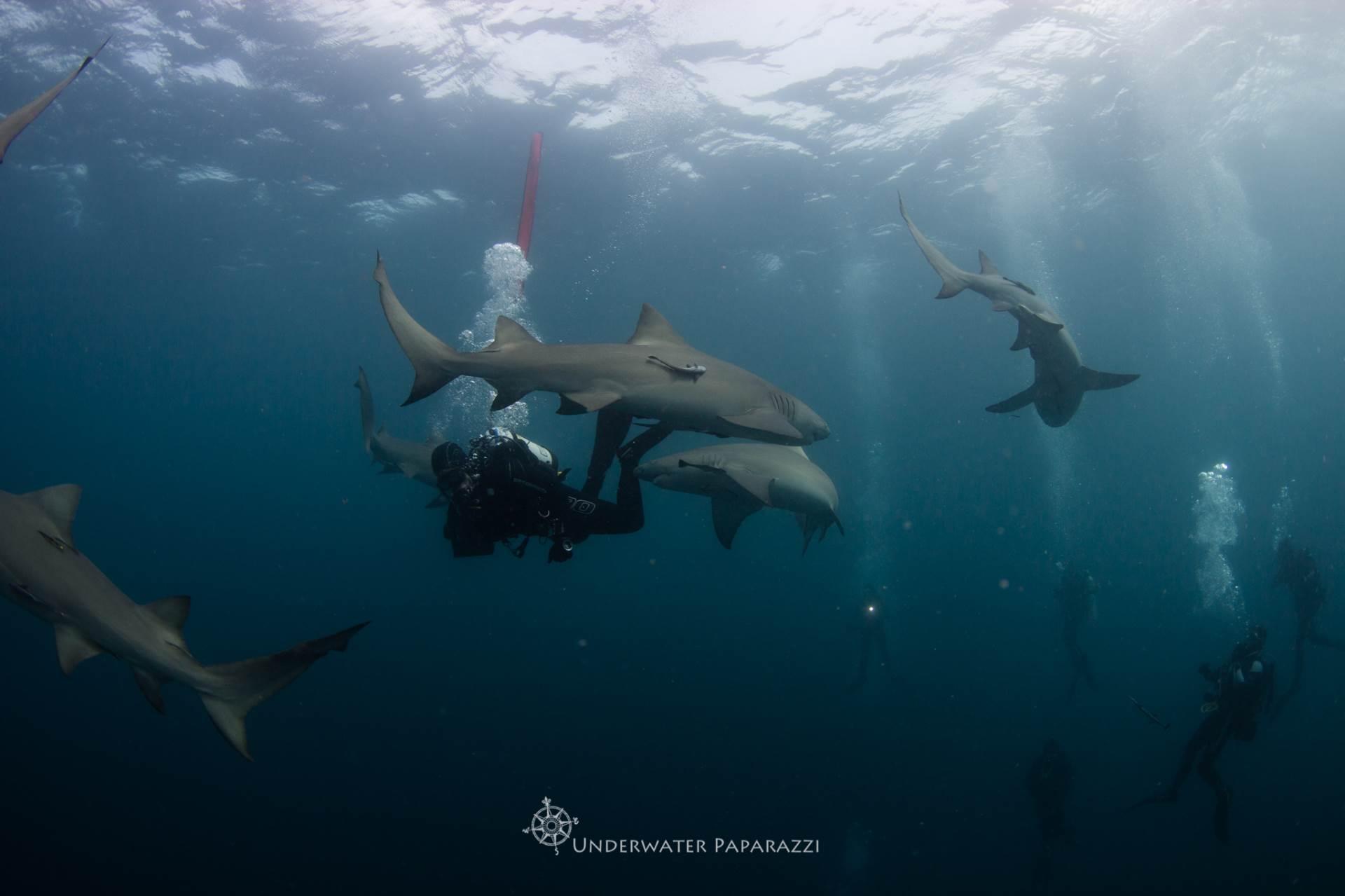 Lemon sharks circling the bait... Happy Shark Week!