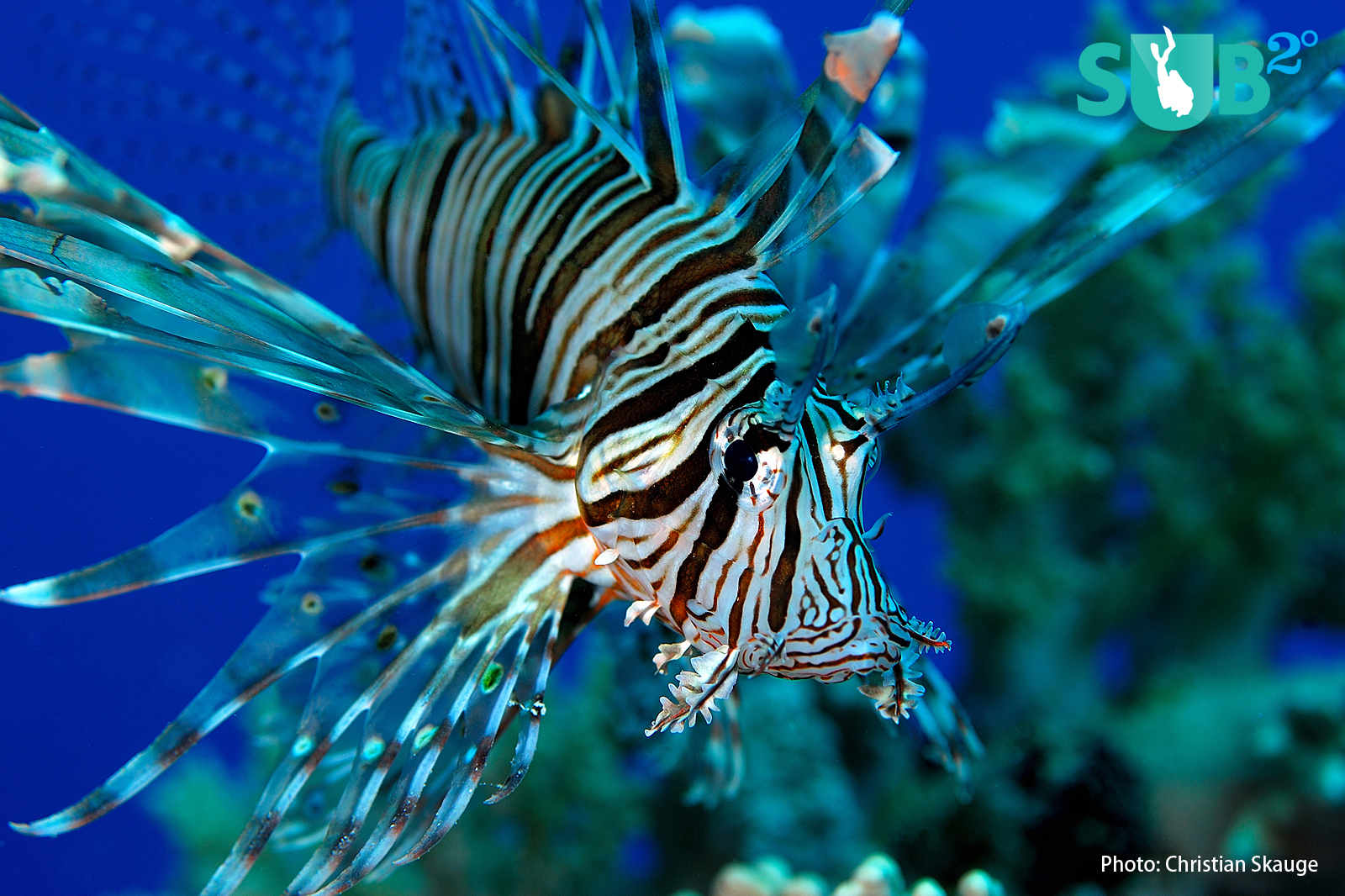 Curious divers should not touch these friendly and brave little fish. Their spiny fan-like projections are poisonous.