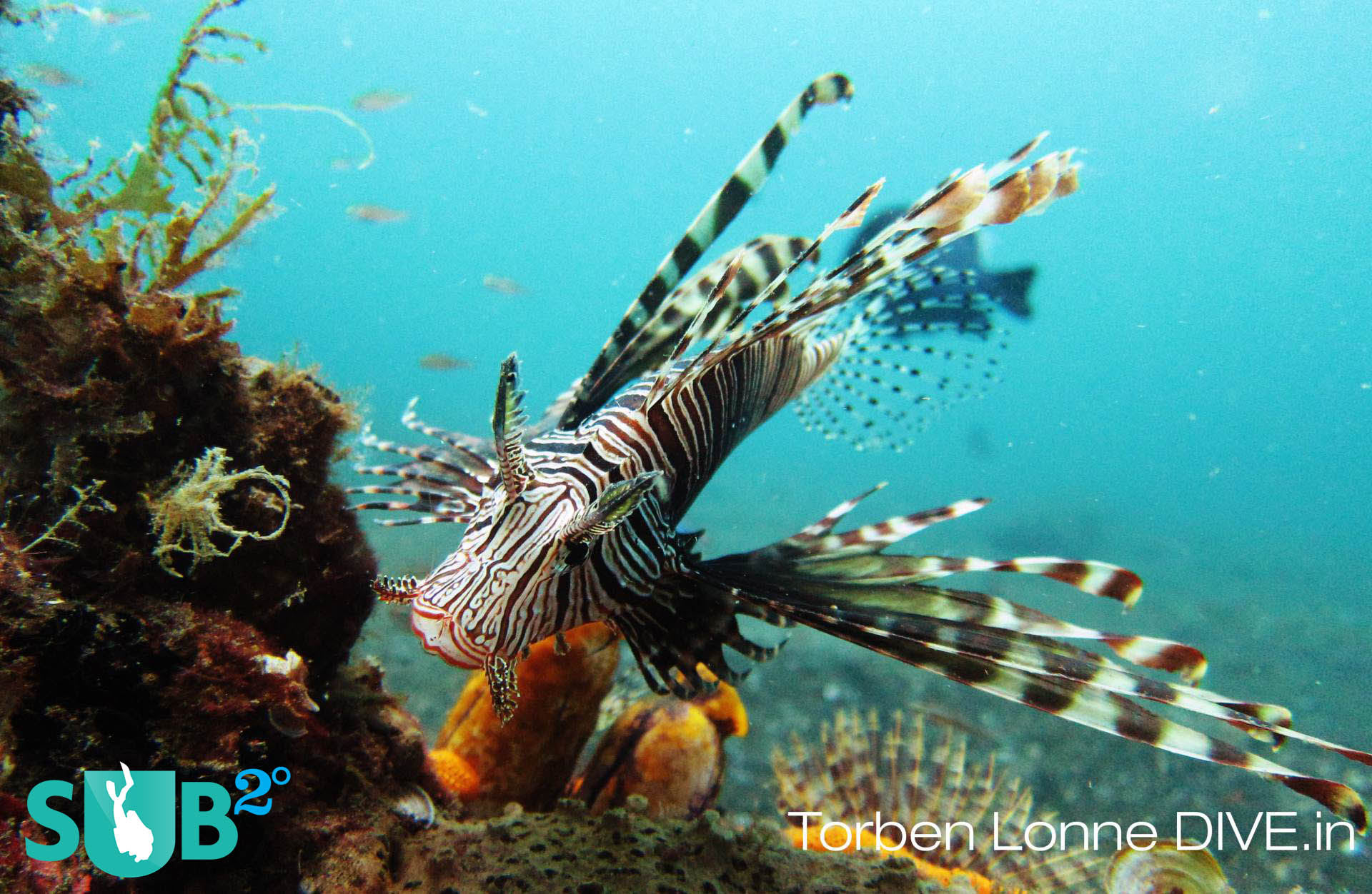 The lionfish is venomous and one of the most ravenous predators in the underwater world.