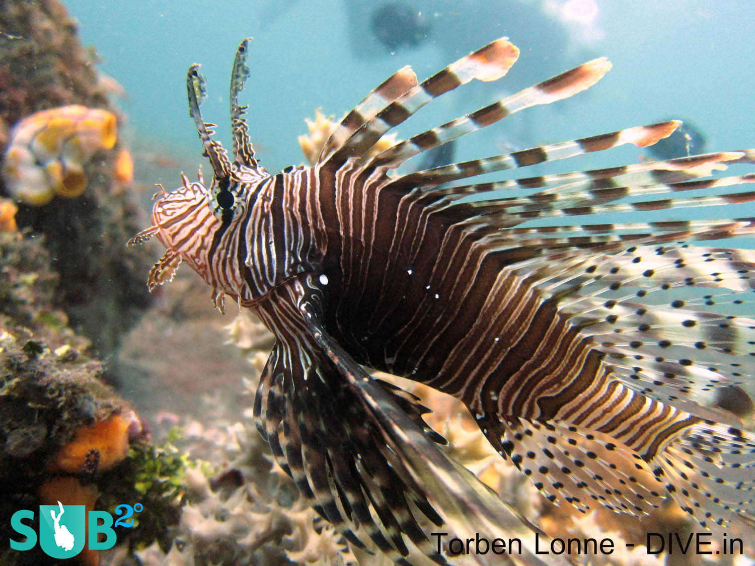 The lionfish has a stunning camouflage that it uses to effectively stalk its prey. Its outstretched and elongated pectoral fins are used to corner small fish, like Damsels, and to engulf them easily.