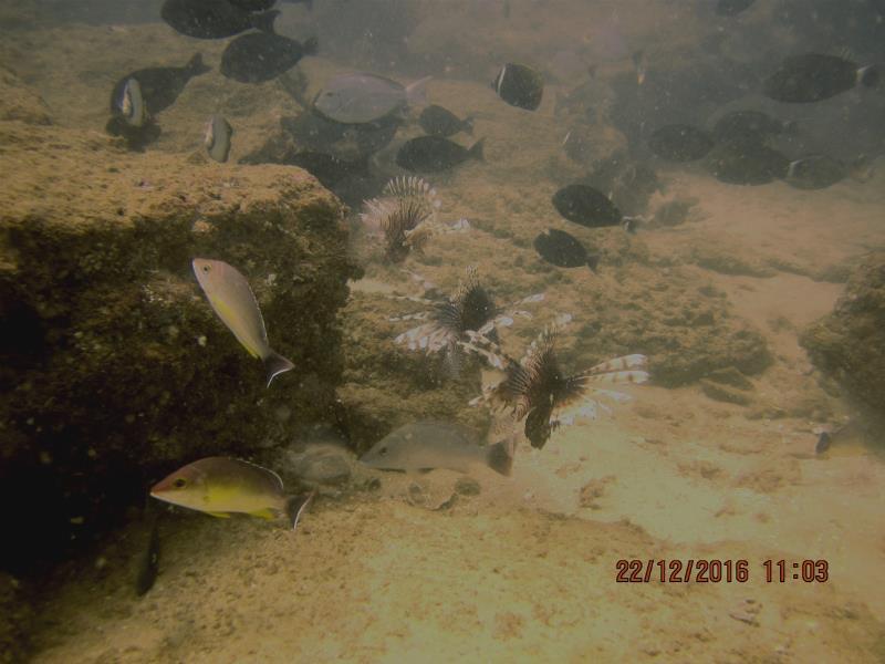Lionfish_fish