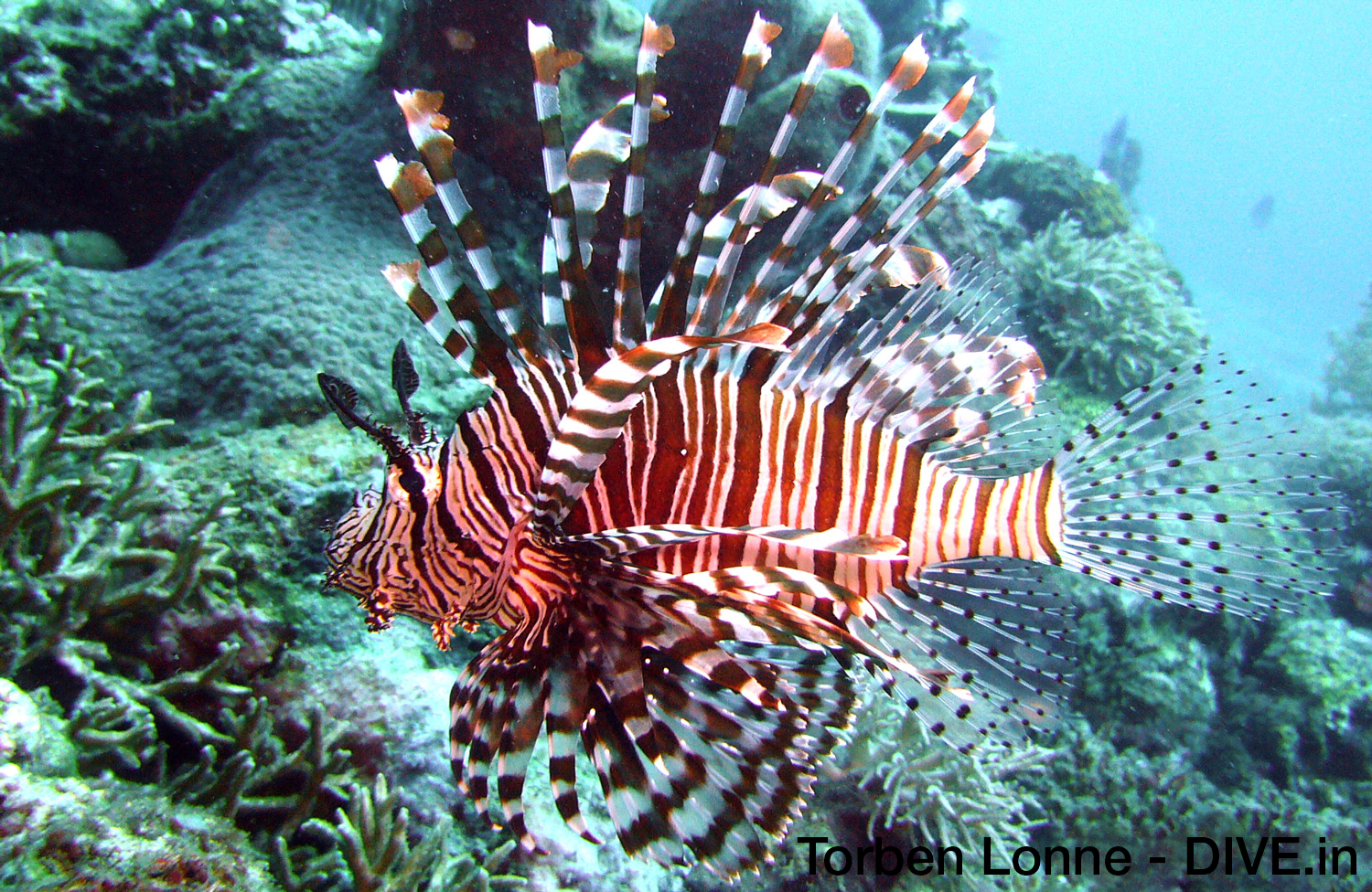 Lionfish in full profile. Moving to the side when diver approach. Picture taken in Indonesia.