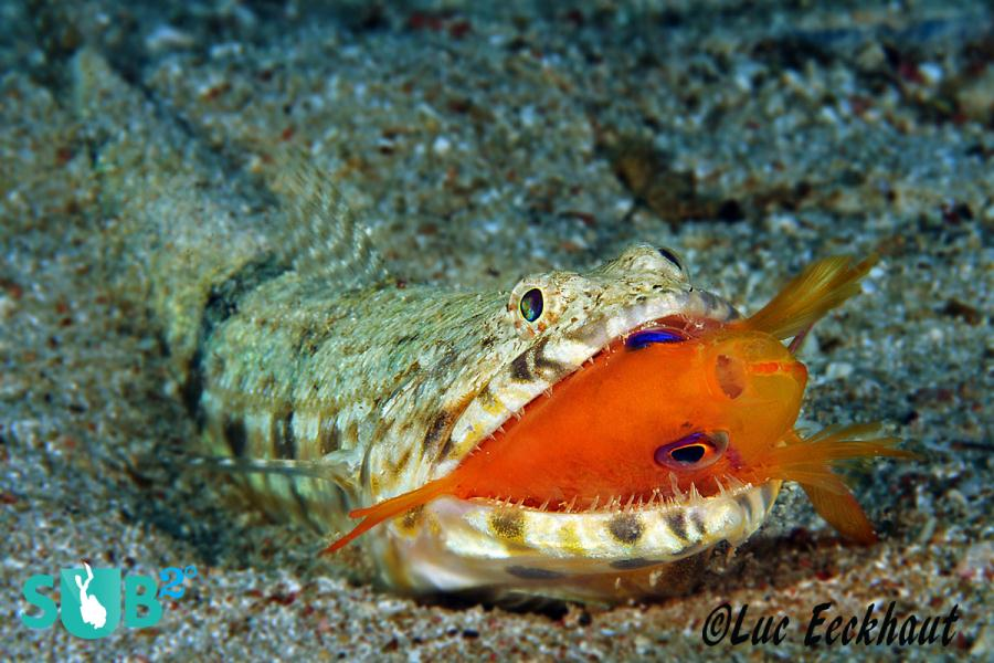 Lizardfish with Anthias