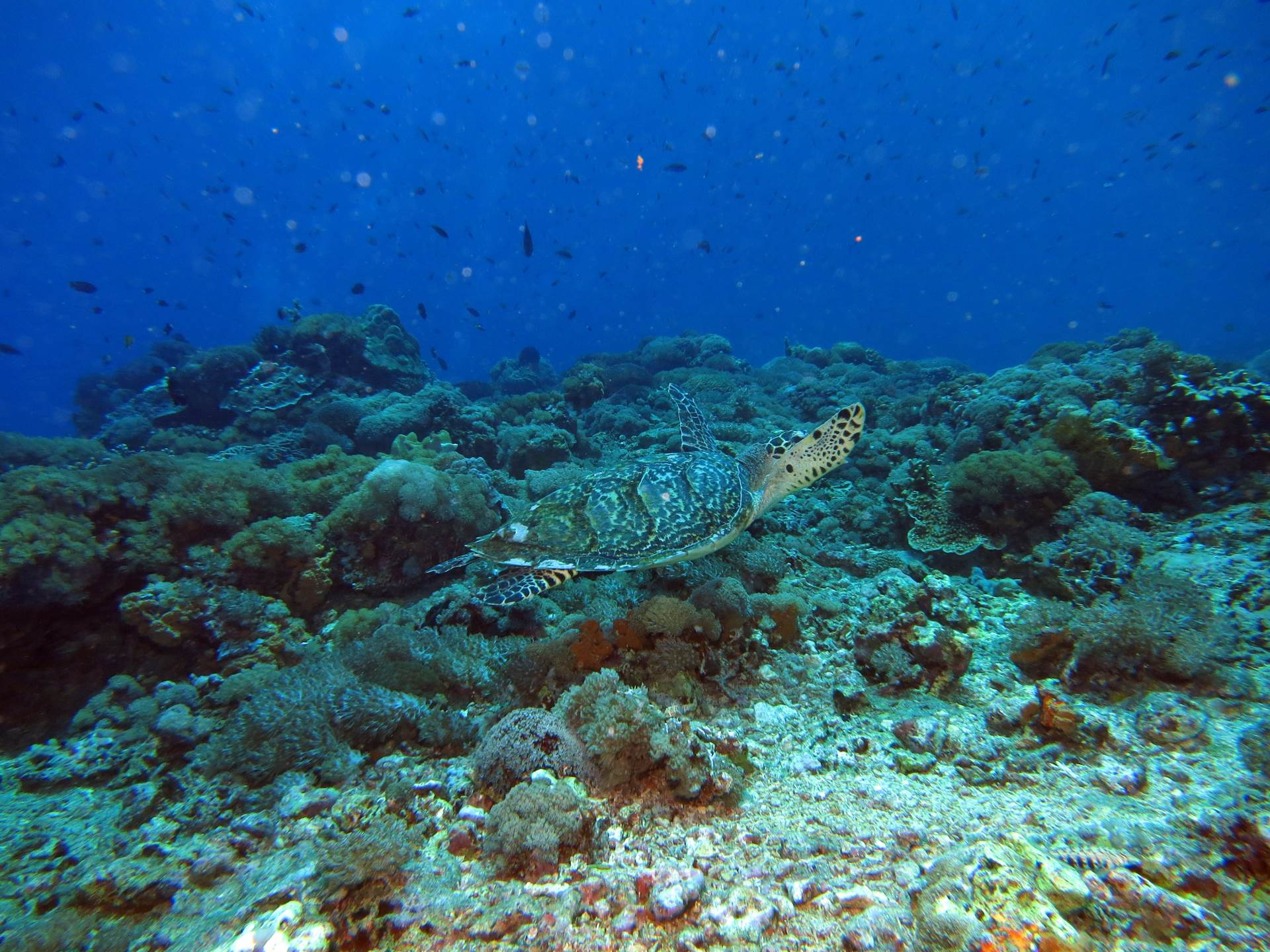 Turtle encounter at Mabul Island