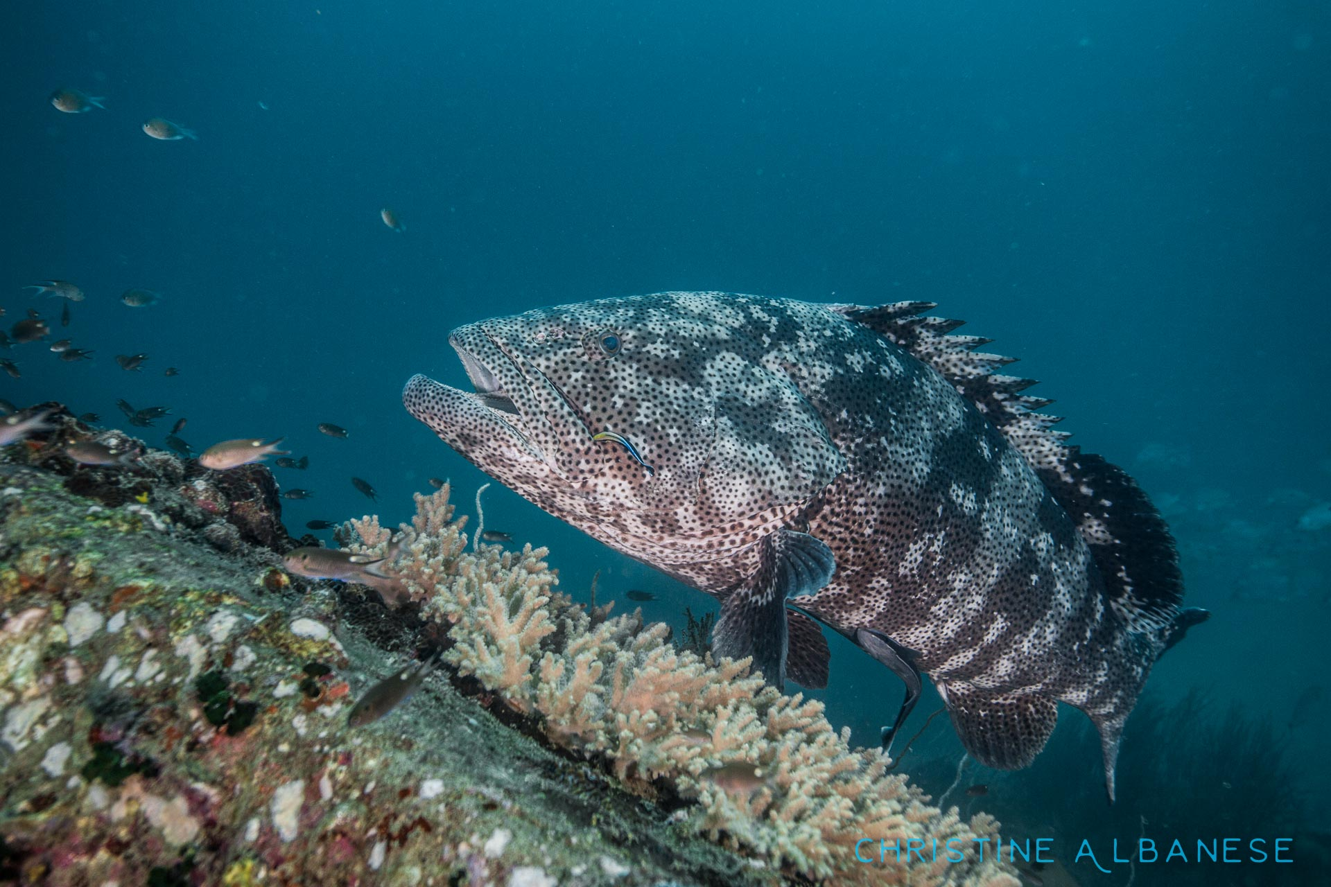 Malabar groupers (Epinephelus Malabaricus) around Koh Tao are actually quite approachable unlike the other species we have around here which tend to be a little skittish. They are the biggest species we have in this area, some reaching almost a metre in length!