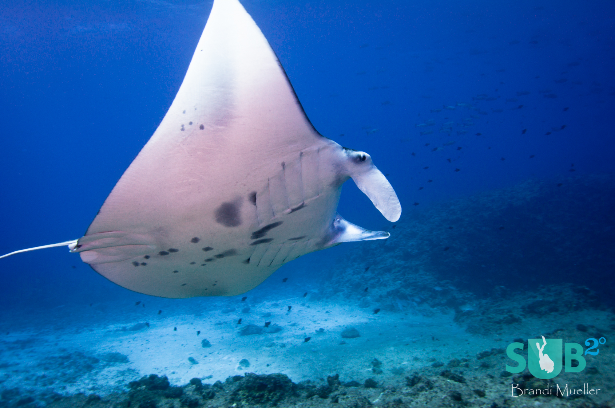 Manta's often are found at German Channel being cleaned by small wrasses.