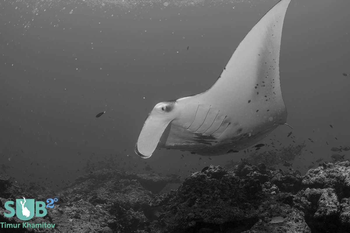 The grace of the Manta is unreal, its mesmerizing to observe this beautiful creature fly around.